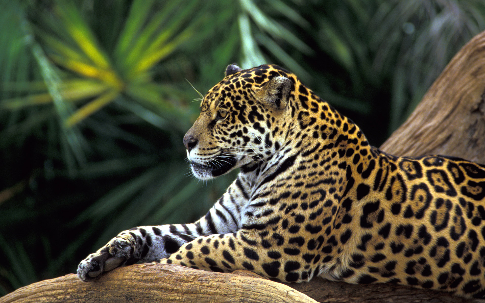 Rainforest Jaguar Wallpaper