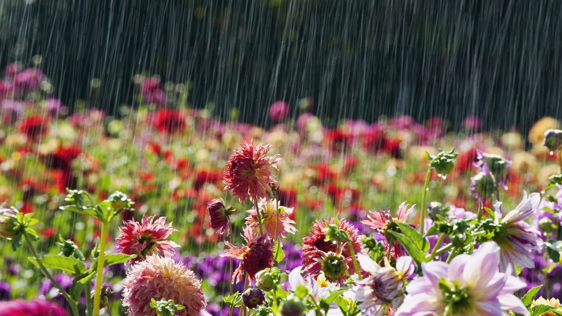 Beautiful Flowers in rain Latest Wallpaper