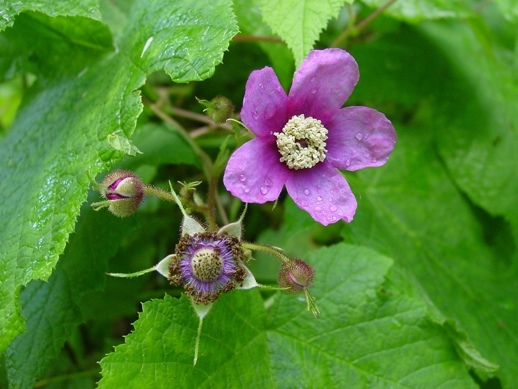 Raspberries Flower