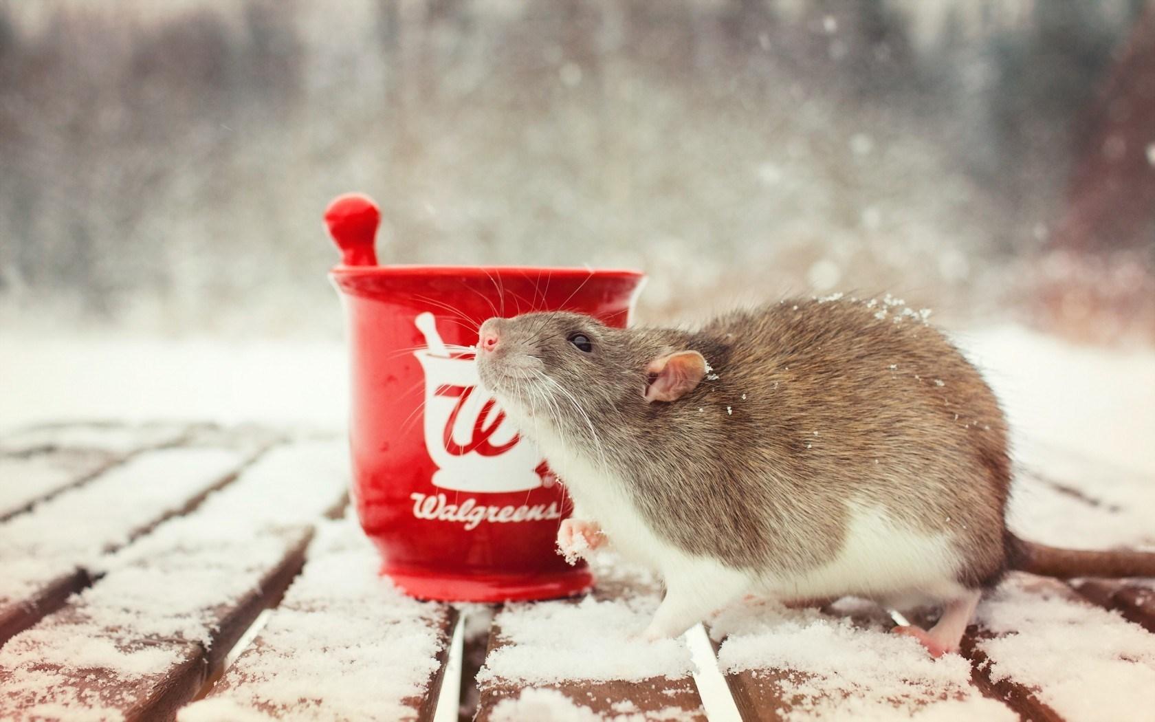 Rat a Cup