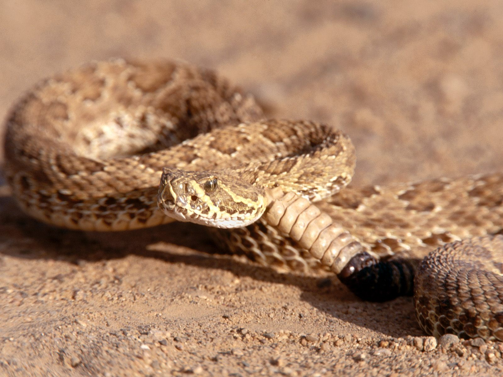 Amazing hd desktop background picture of rattle snake reptiles wallpaper