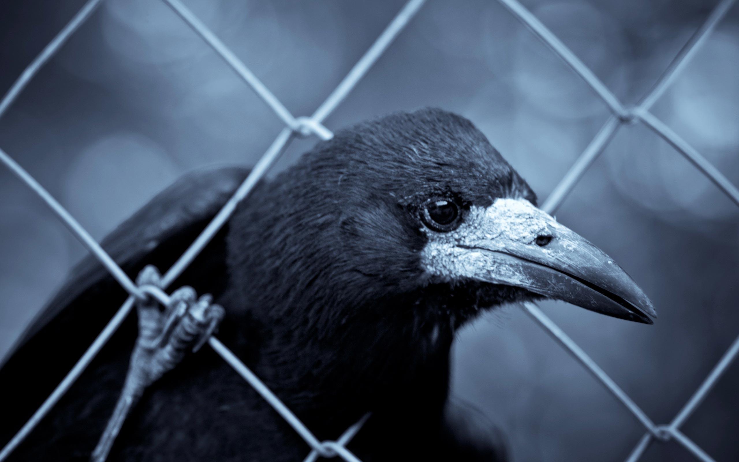 Raven · Raven · Raven Wallpaper ...