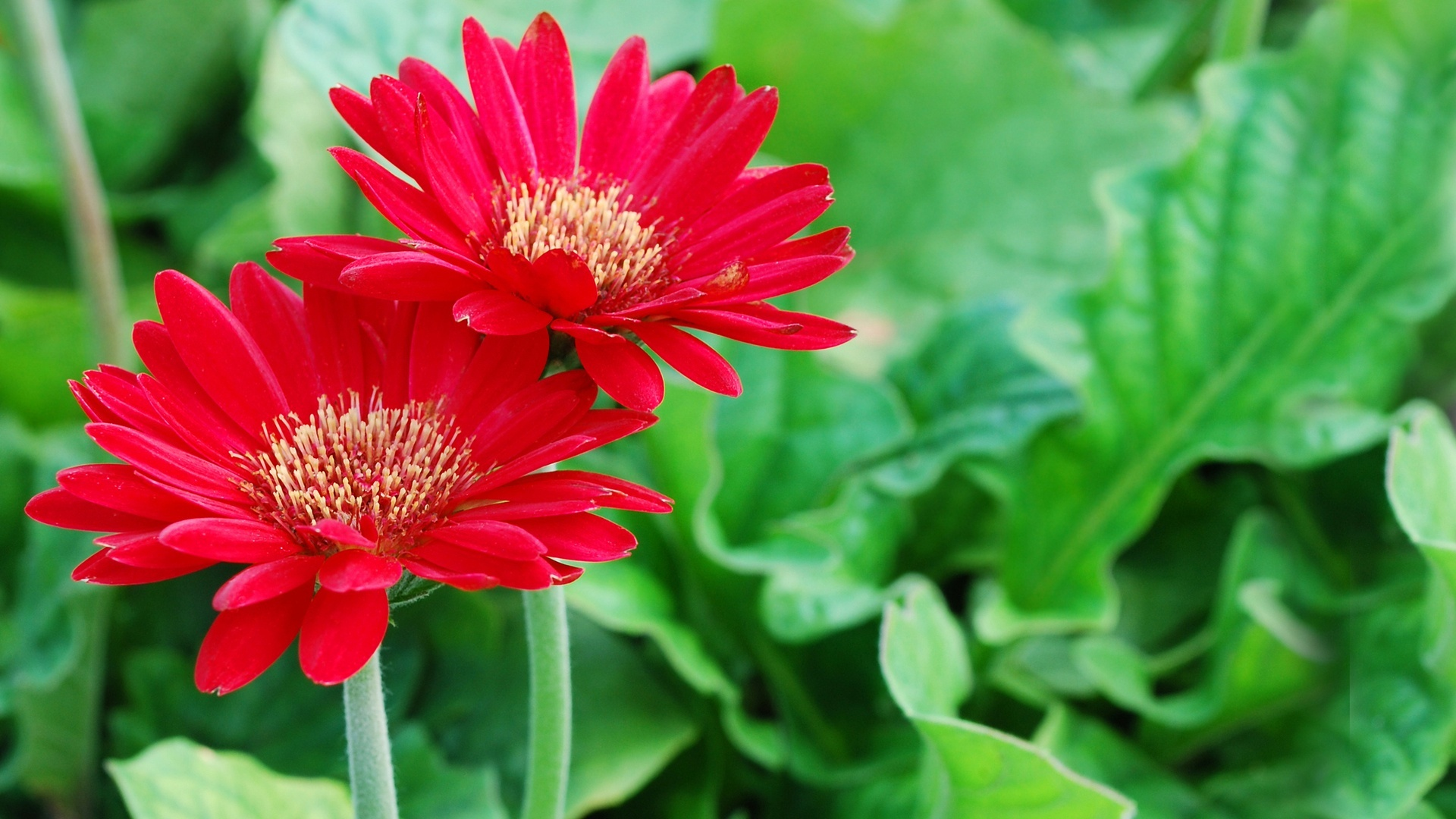 Red daisies HD Wallpaper