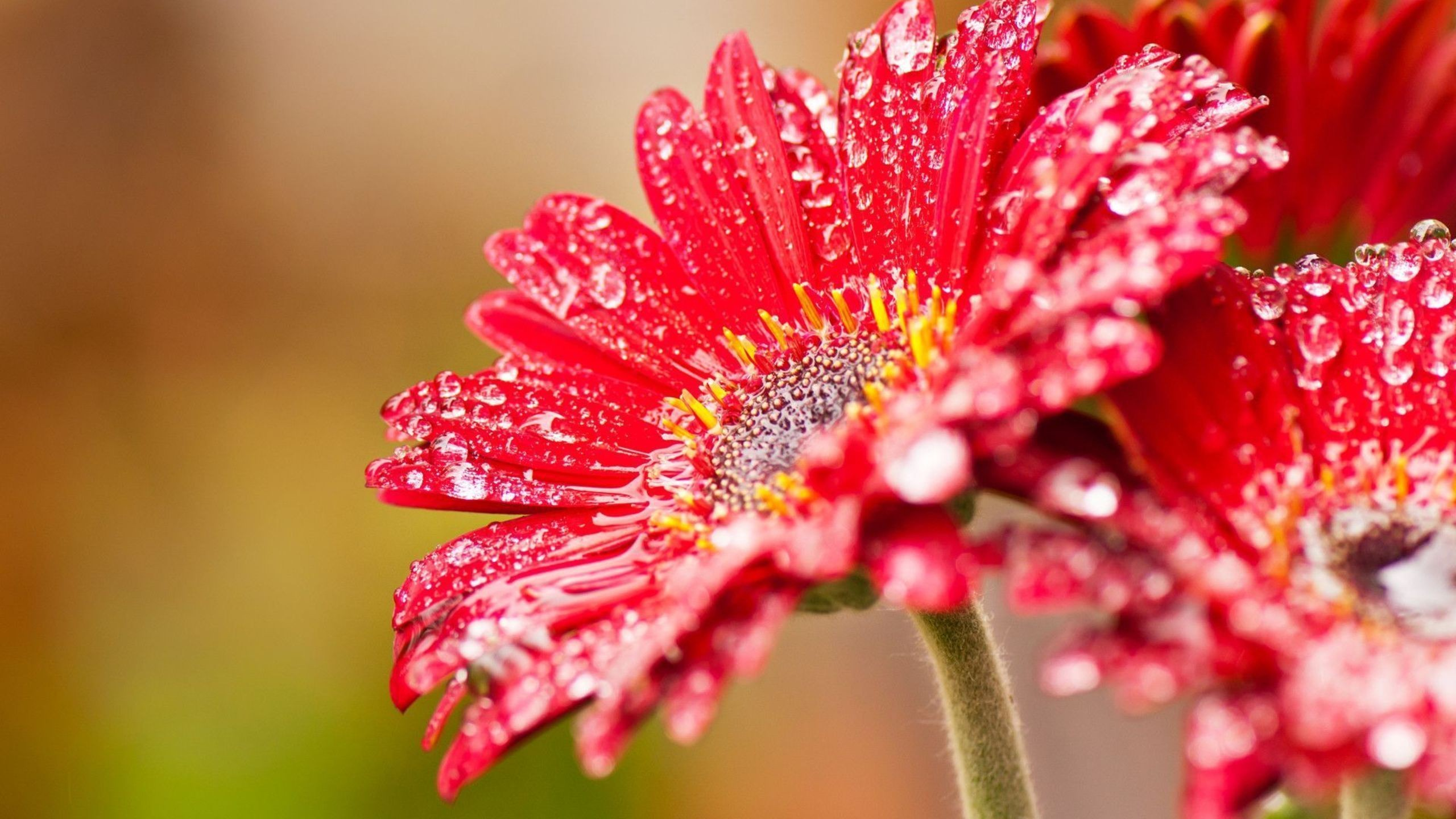 Stunning Red Gerberas Daisy in Macro Shot Hd Wallpaper