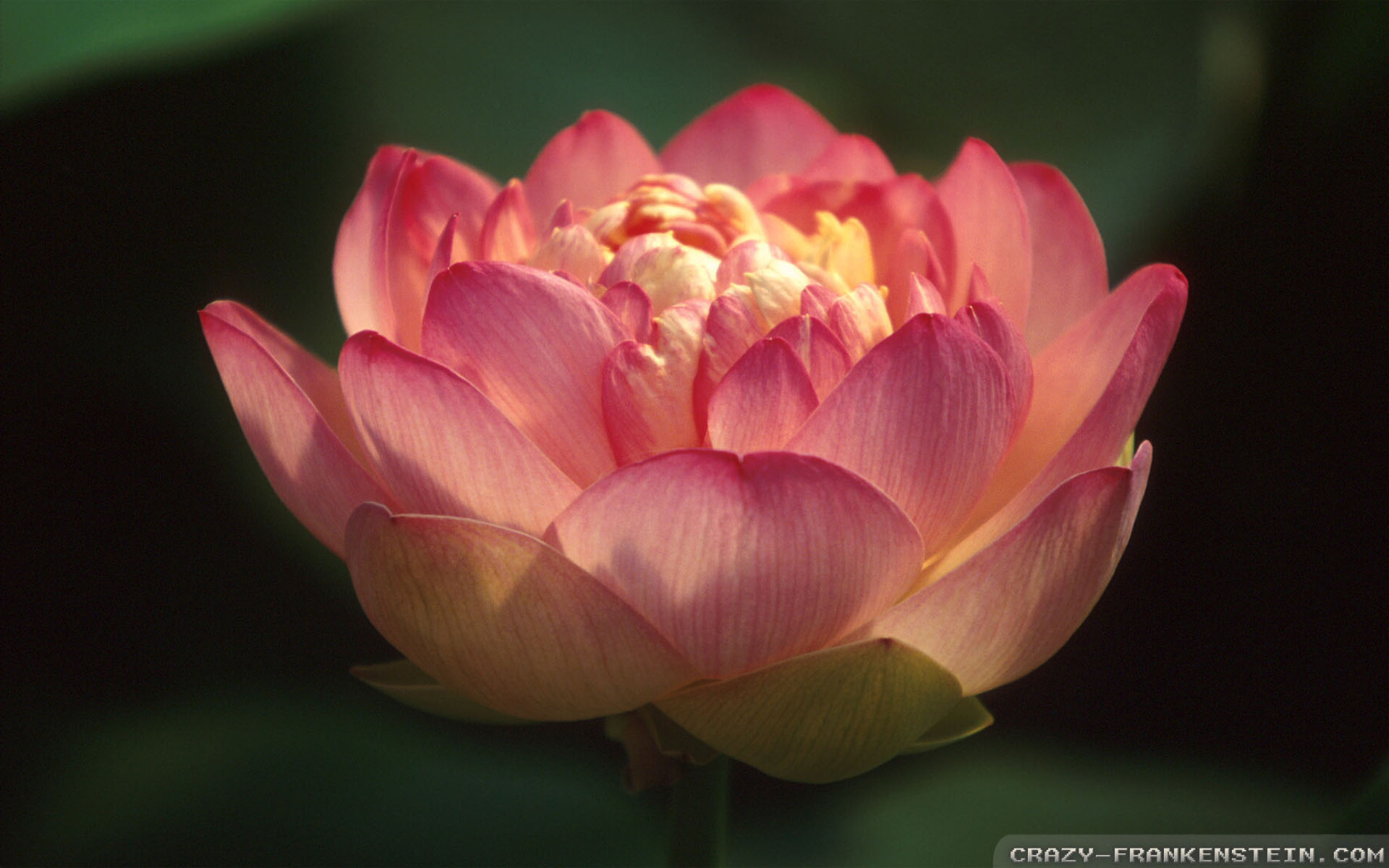 Pin Light Red Lotus Flower Wallpapers Xjpg On Pinterest 1920x1200px