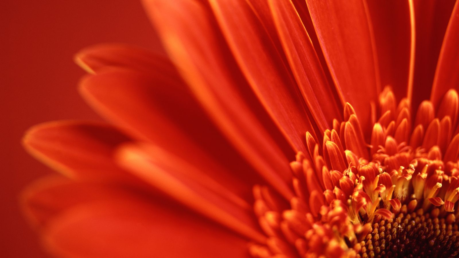 Red Flower Up Close Wallpaper