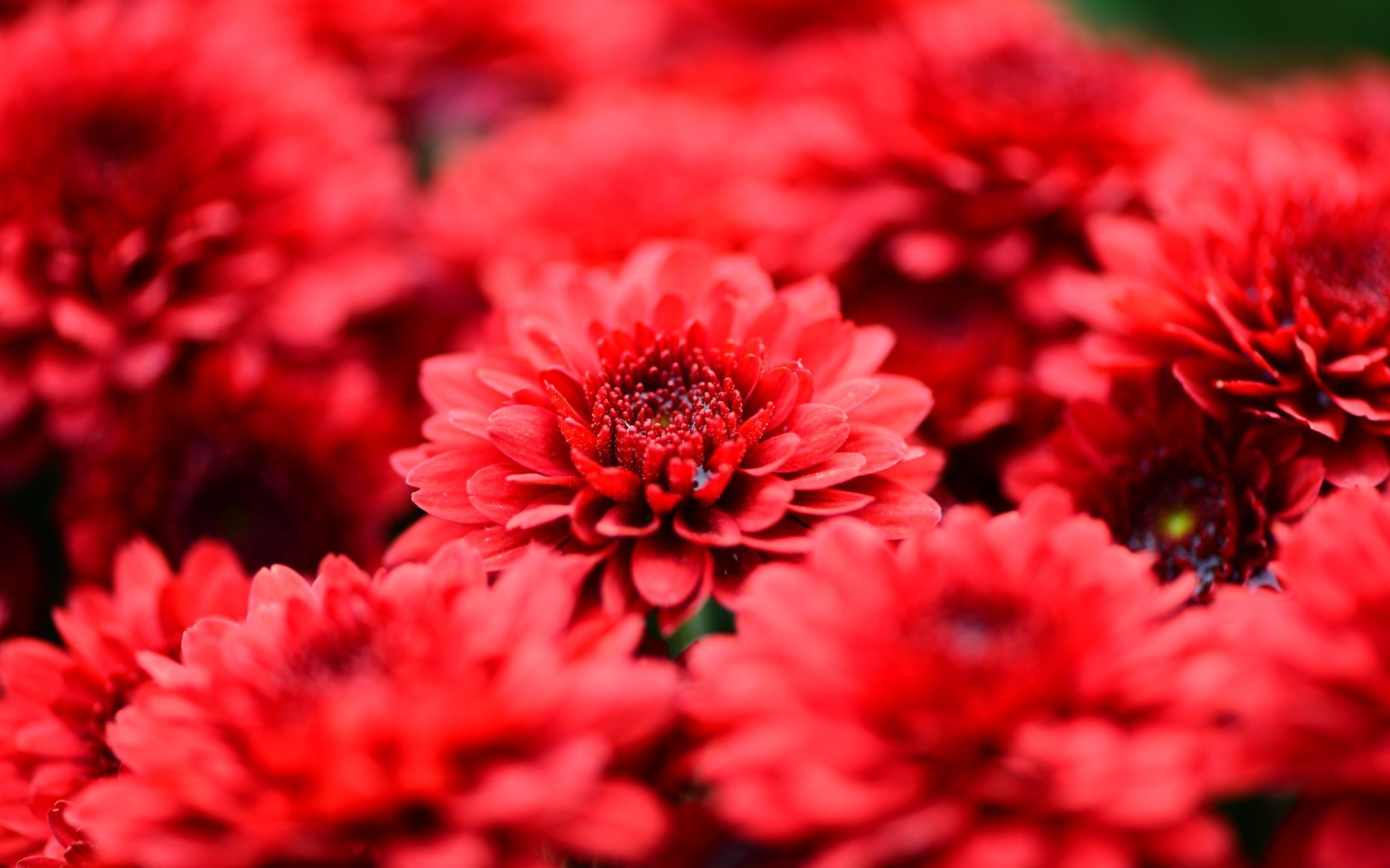 Chrysanthemums Red Flowers Petals Close-Up