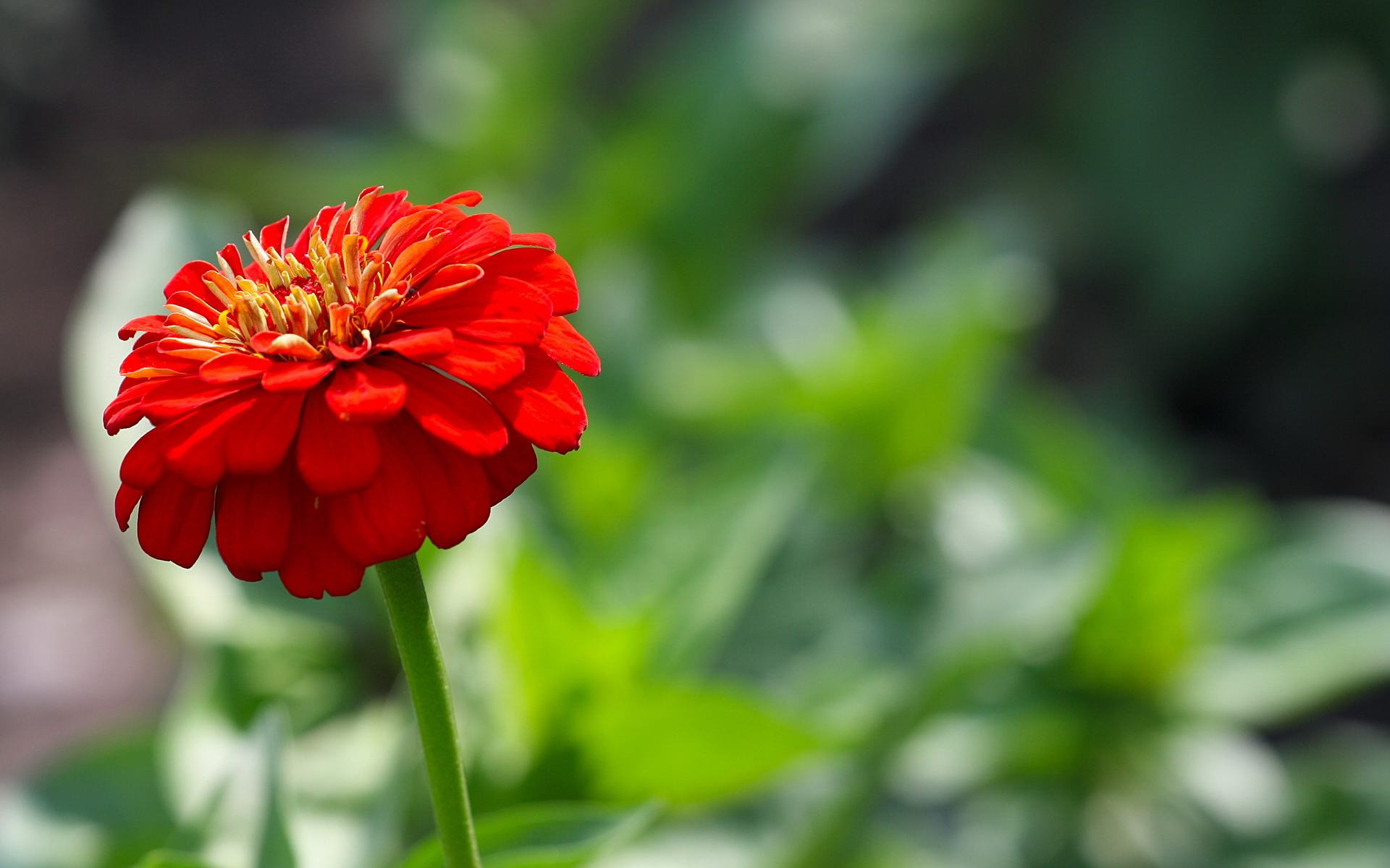 Summer Red Flowers | 1920 x 1200 ...