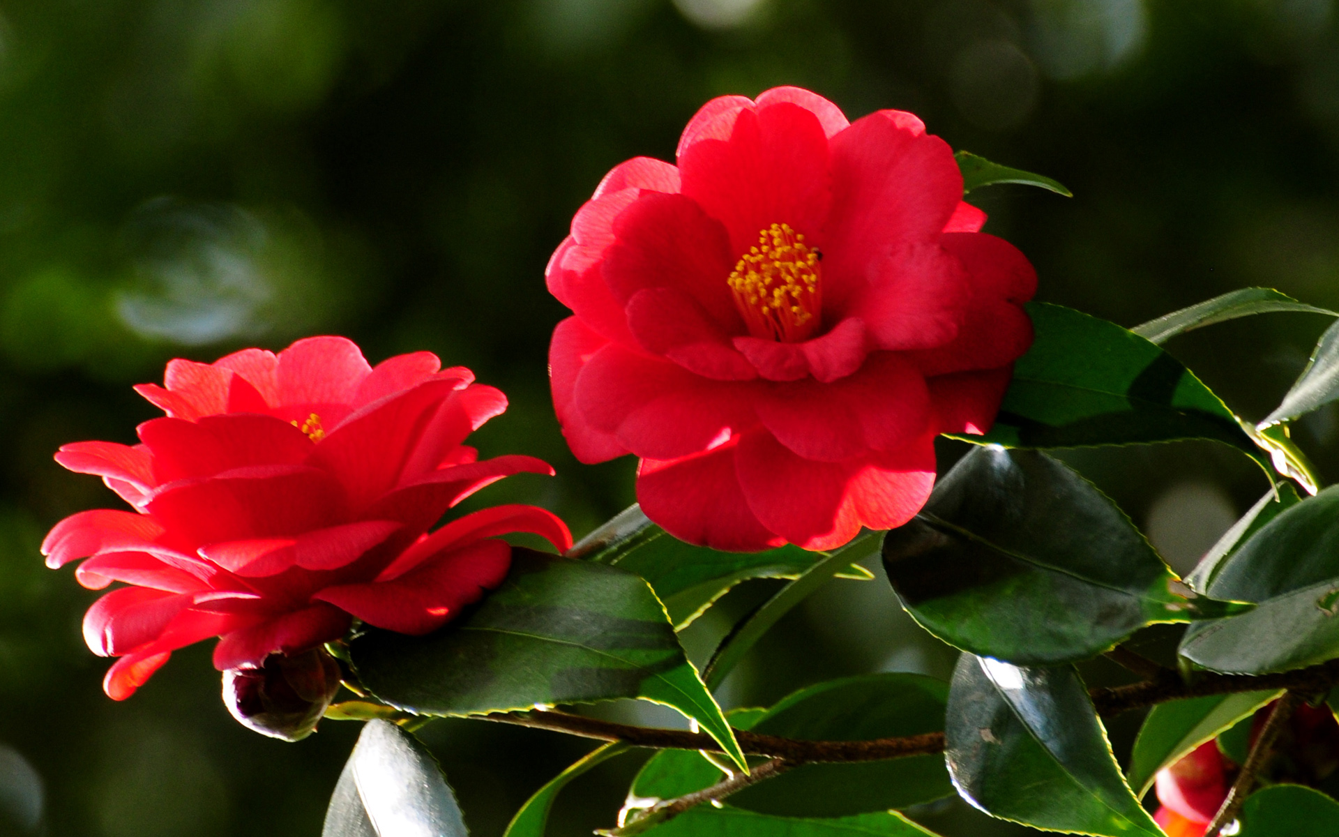 Red Flowers Large Hd Wallpaper Database