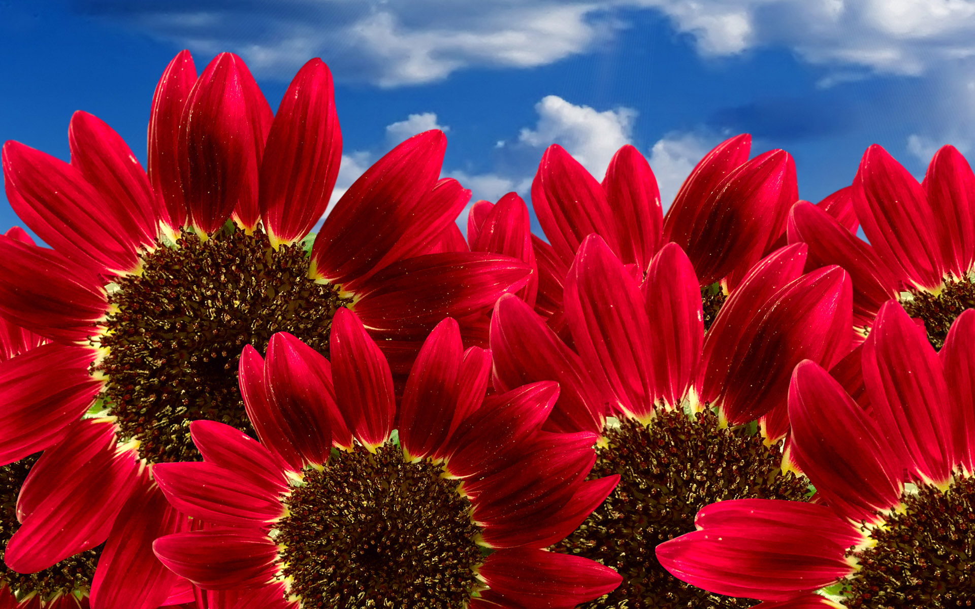 This picture takes the blue sky as the background and brings out the main subject – Pure Red Sunflowers blooming in the sky.