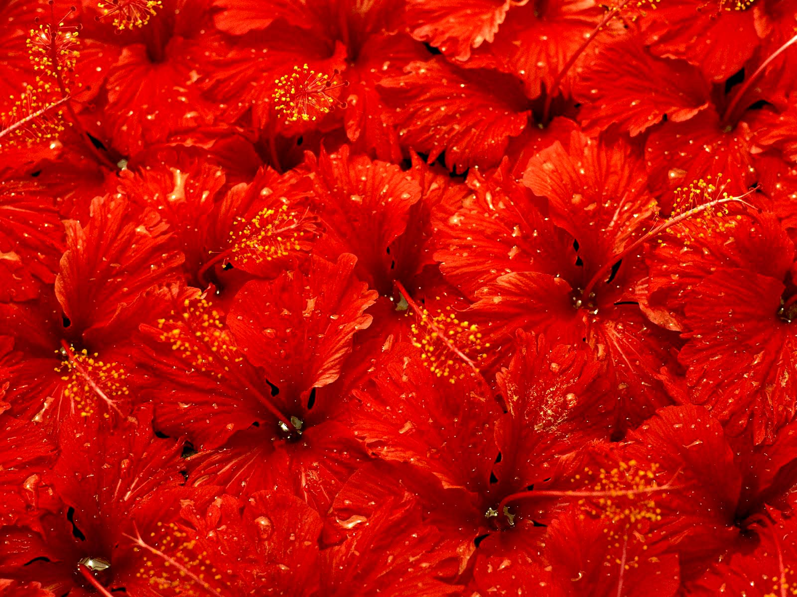 ... Red Flowers Wallpaper ...
