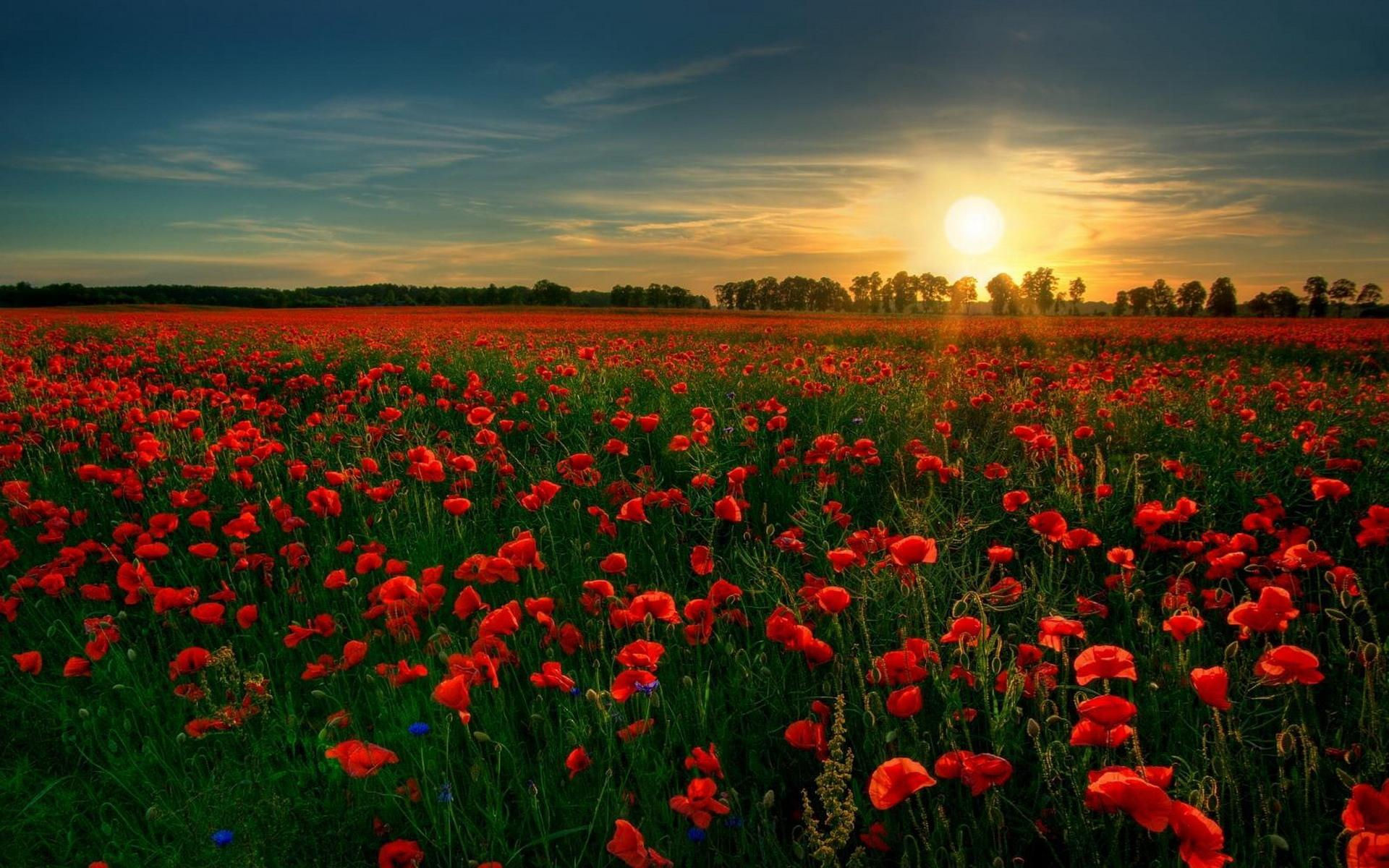 Hd Field Of Red Flowers Wallpaper