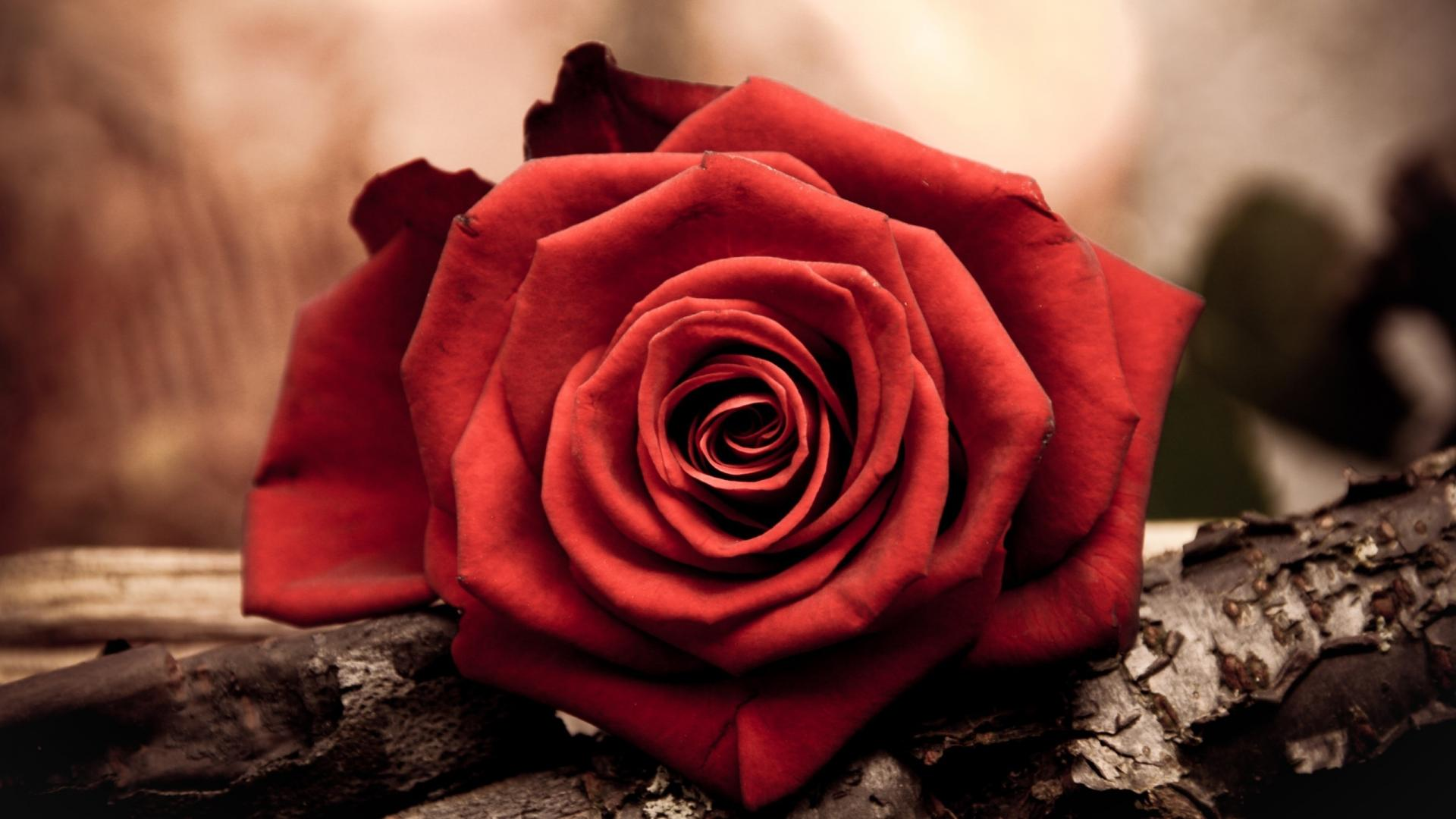 Red Flowers HD Wallpapers-6