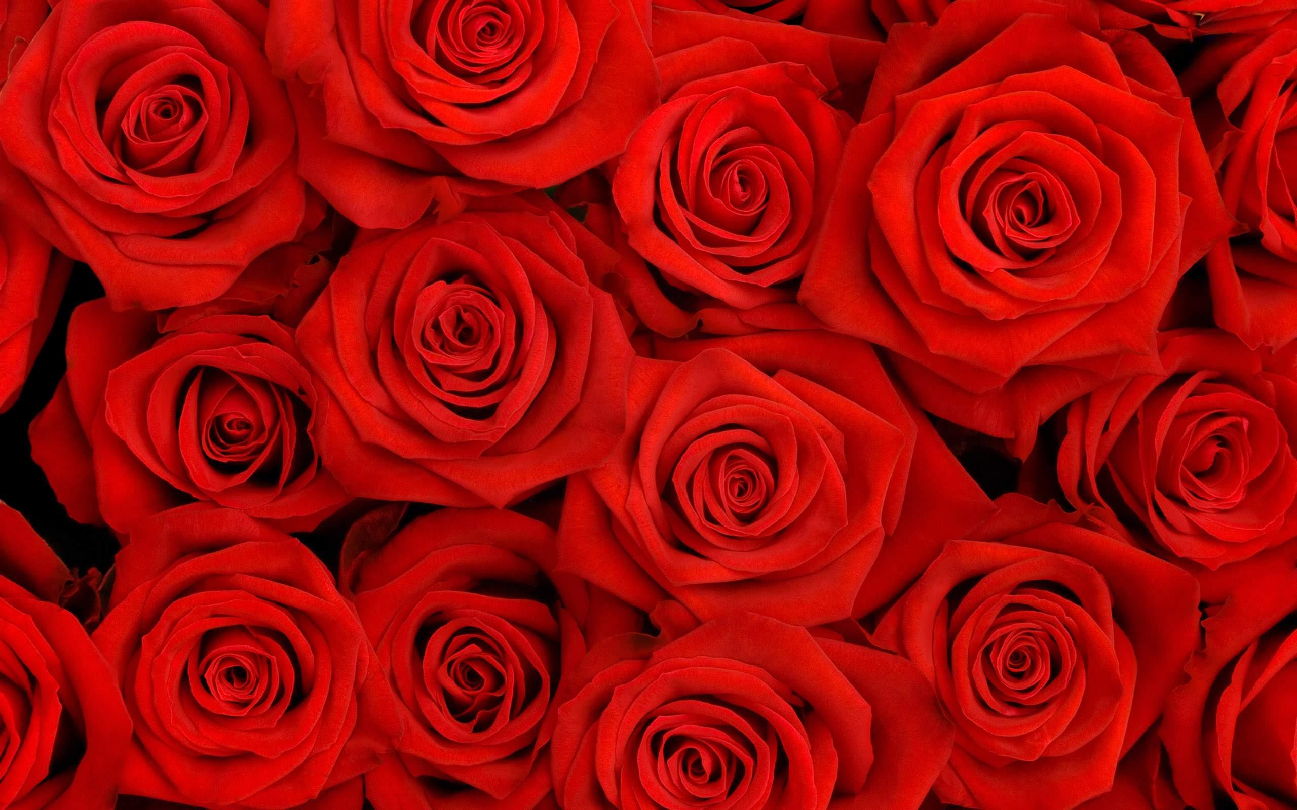Rose Flowers Wallpaper Photos