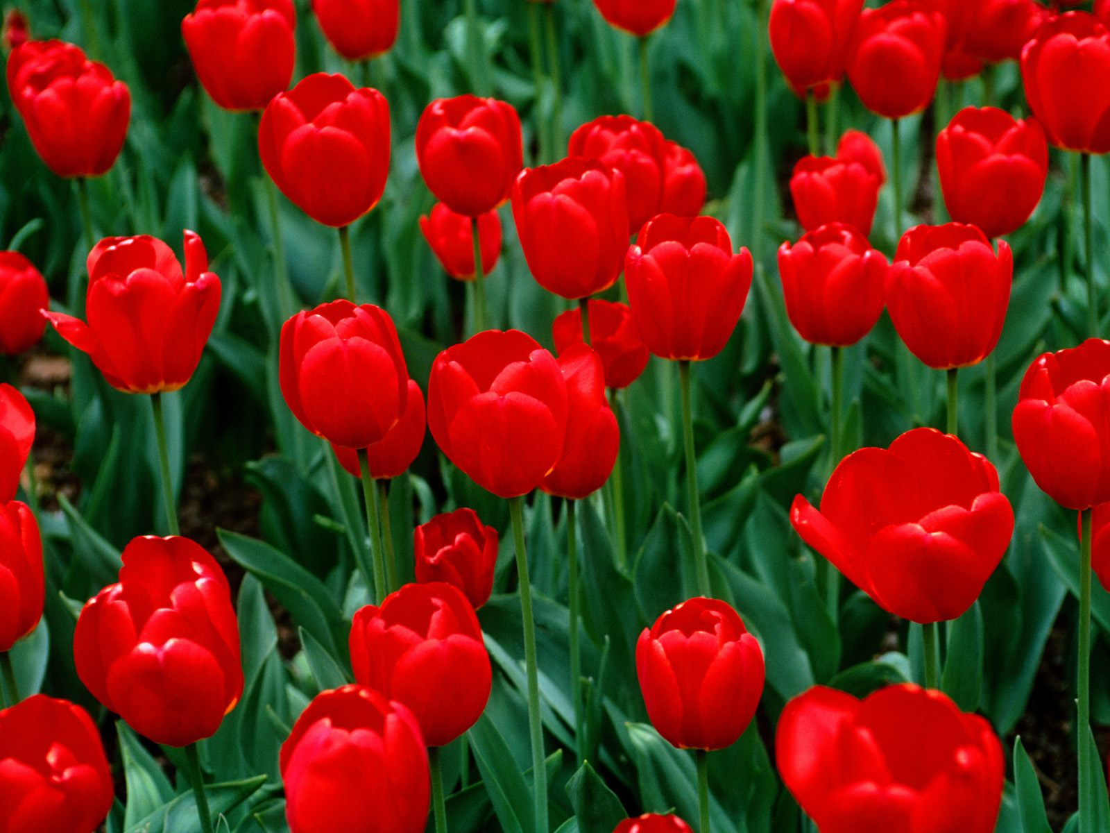 Flowers Wallpaper Red Tulips
