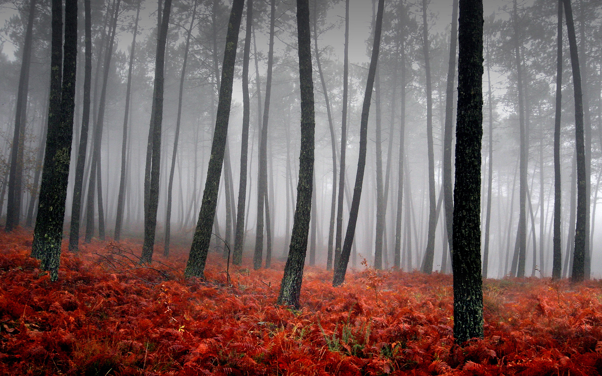 Red Forest Background