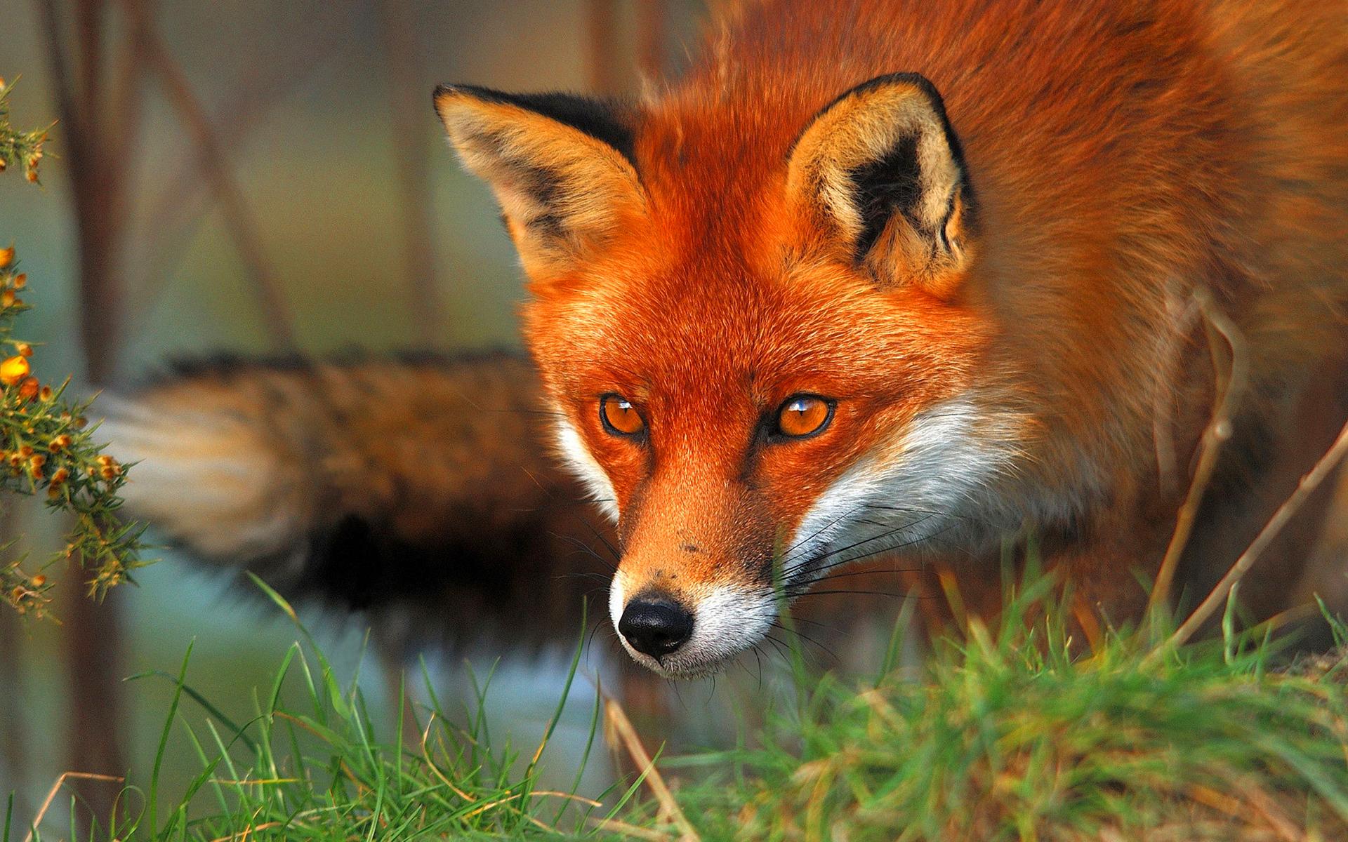 Red fox eyes