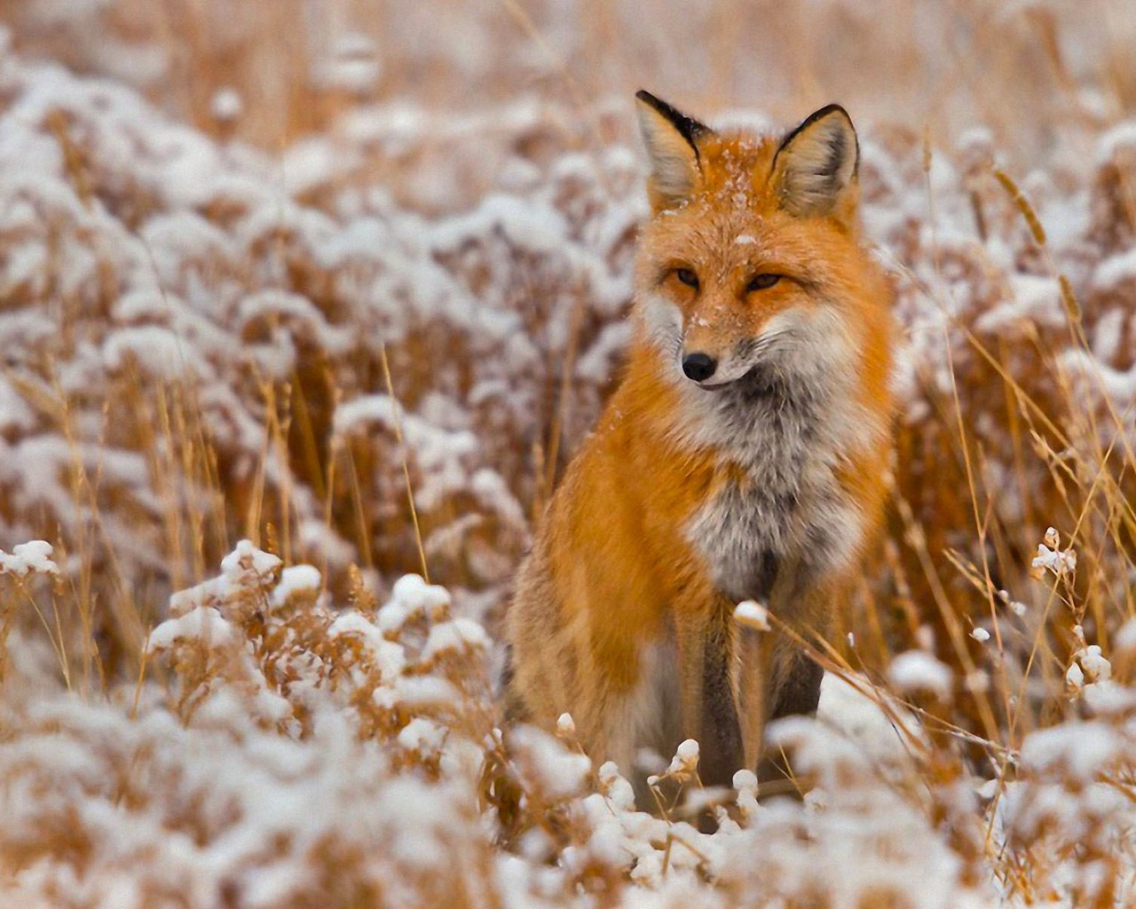Red fox hd