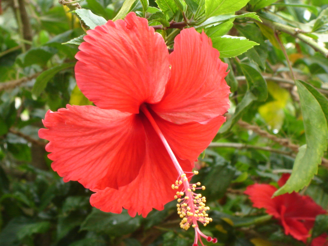 Hawaiian Red Hibiscus Flower