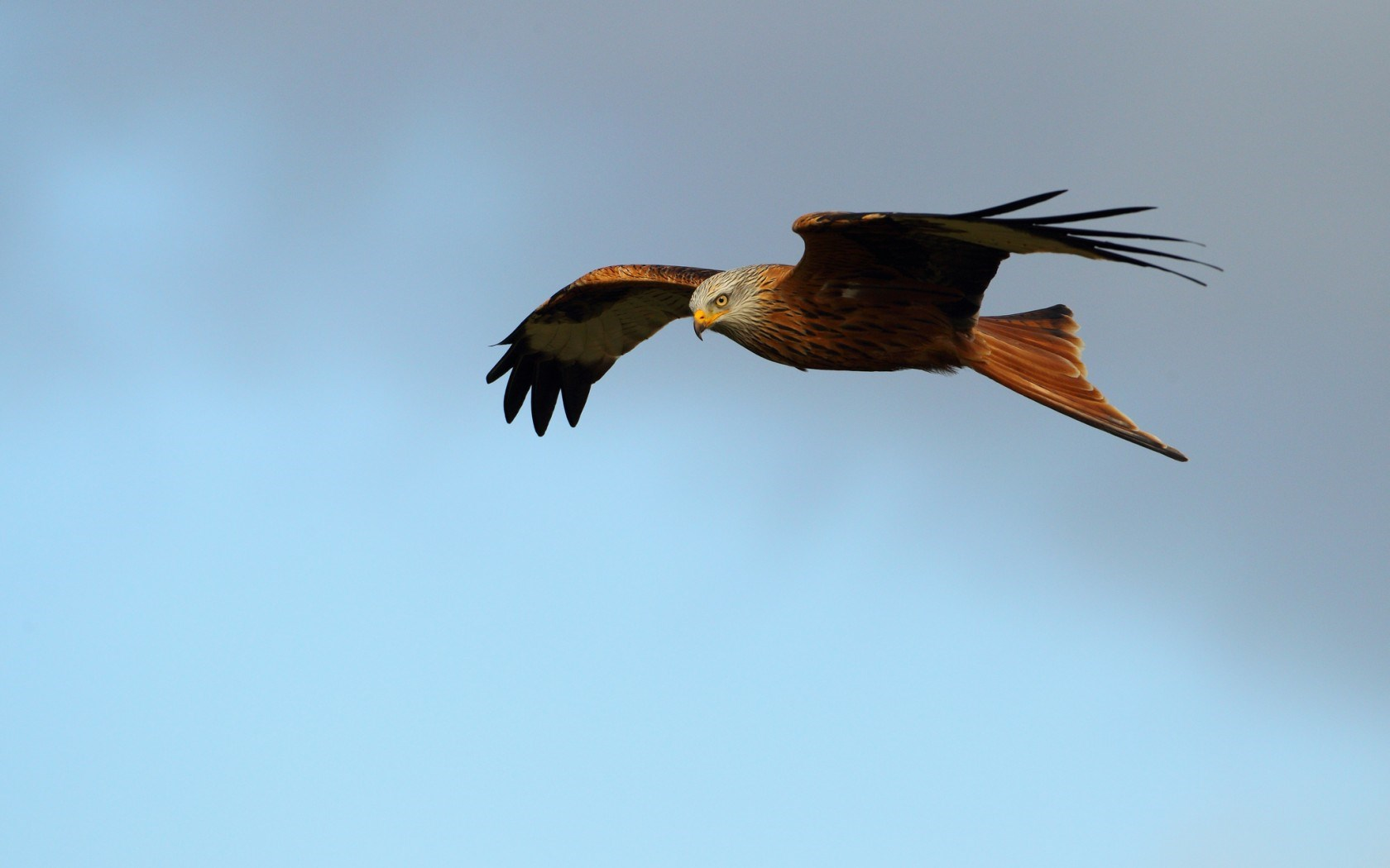 Red Kite Bird of Prey