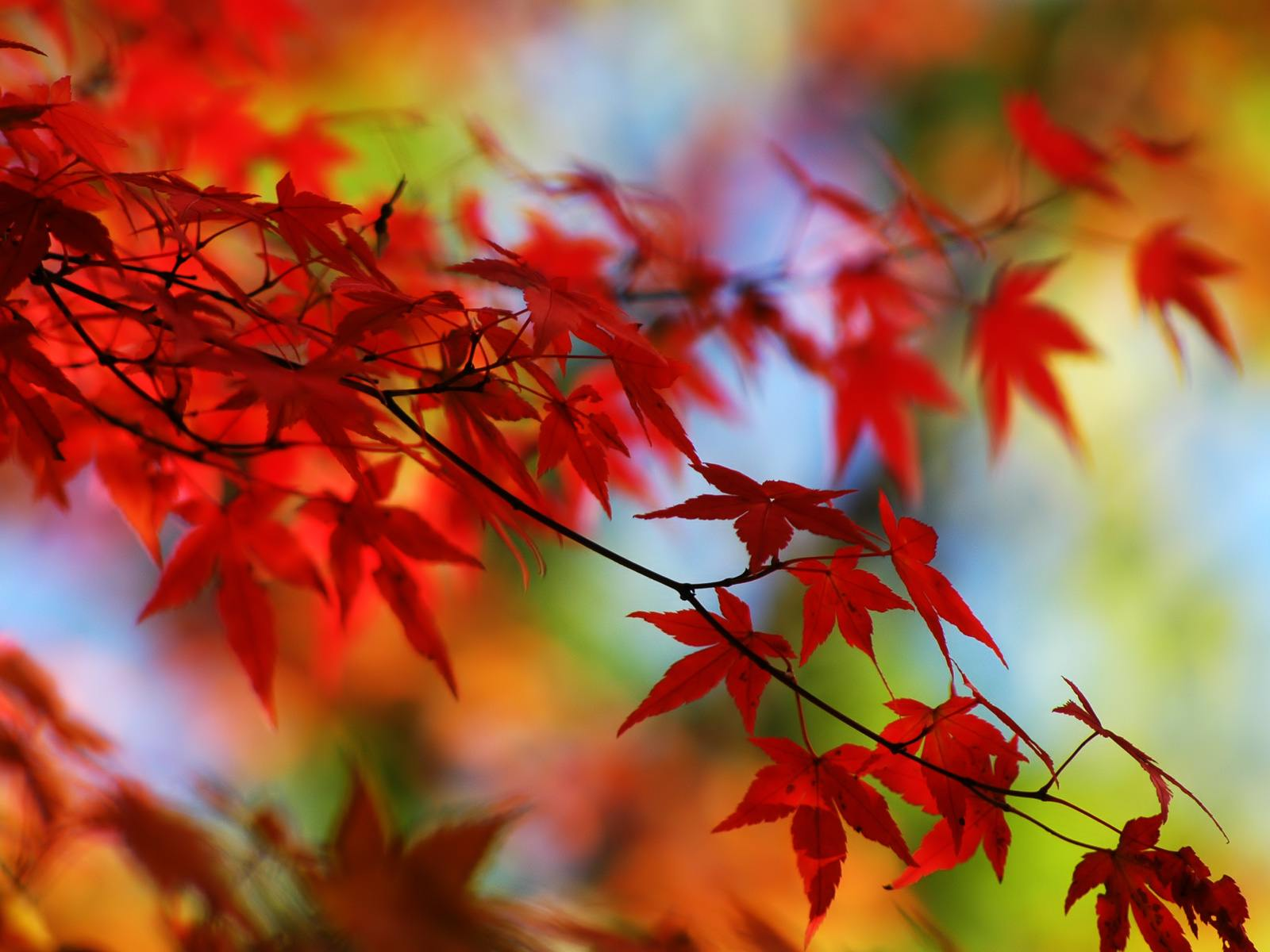 Wallpaper Information: Red Leaves Background 16379