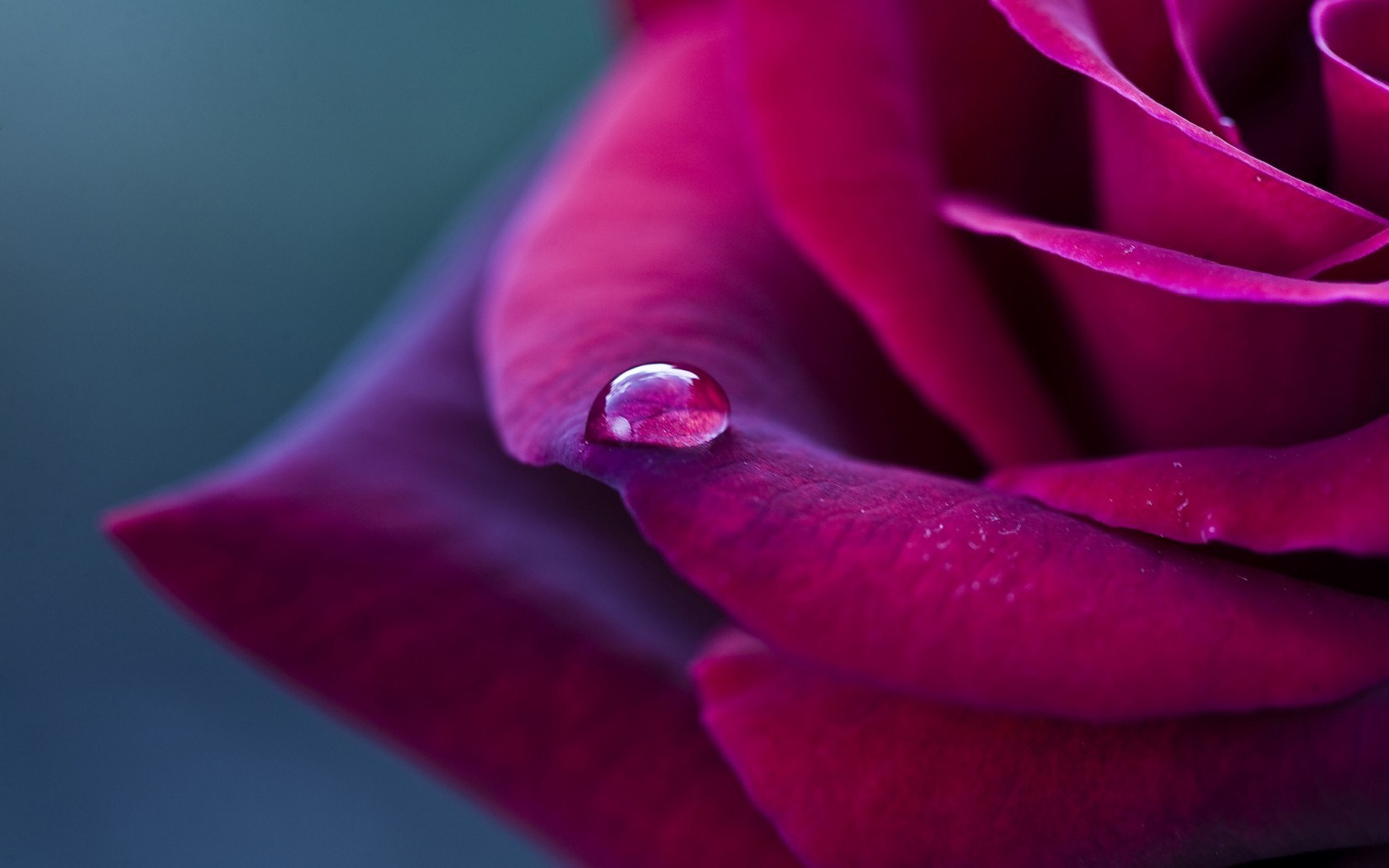 Rose Red Petals Drop Macro HD Wallpaper