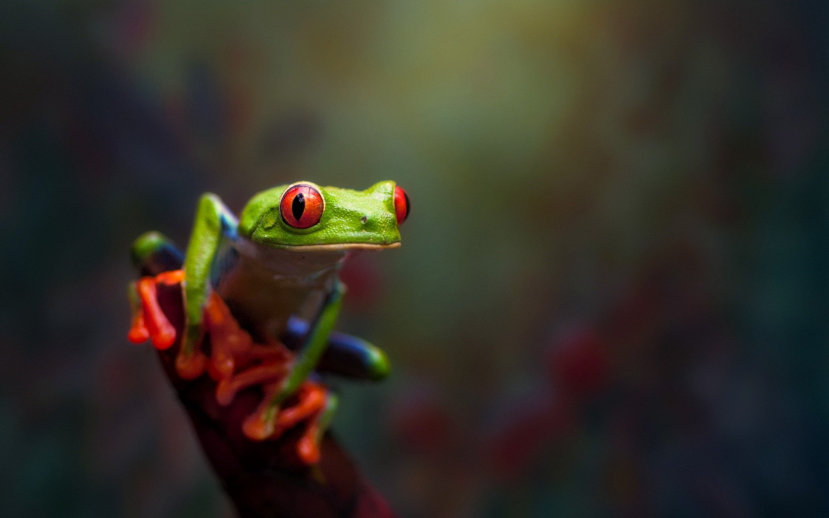 Red Eyed Tree Frog Macro Nature HD Wallpaper