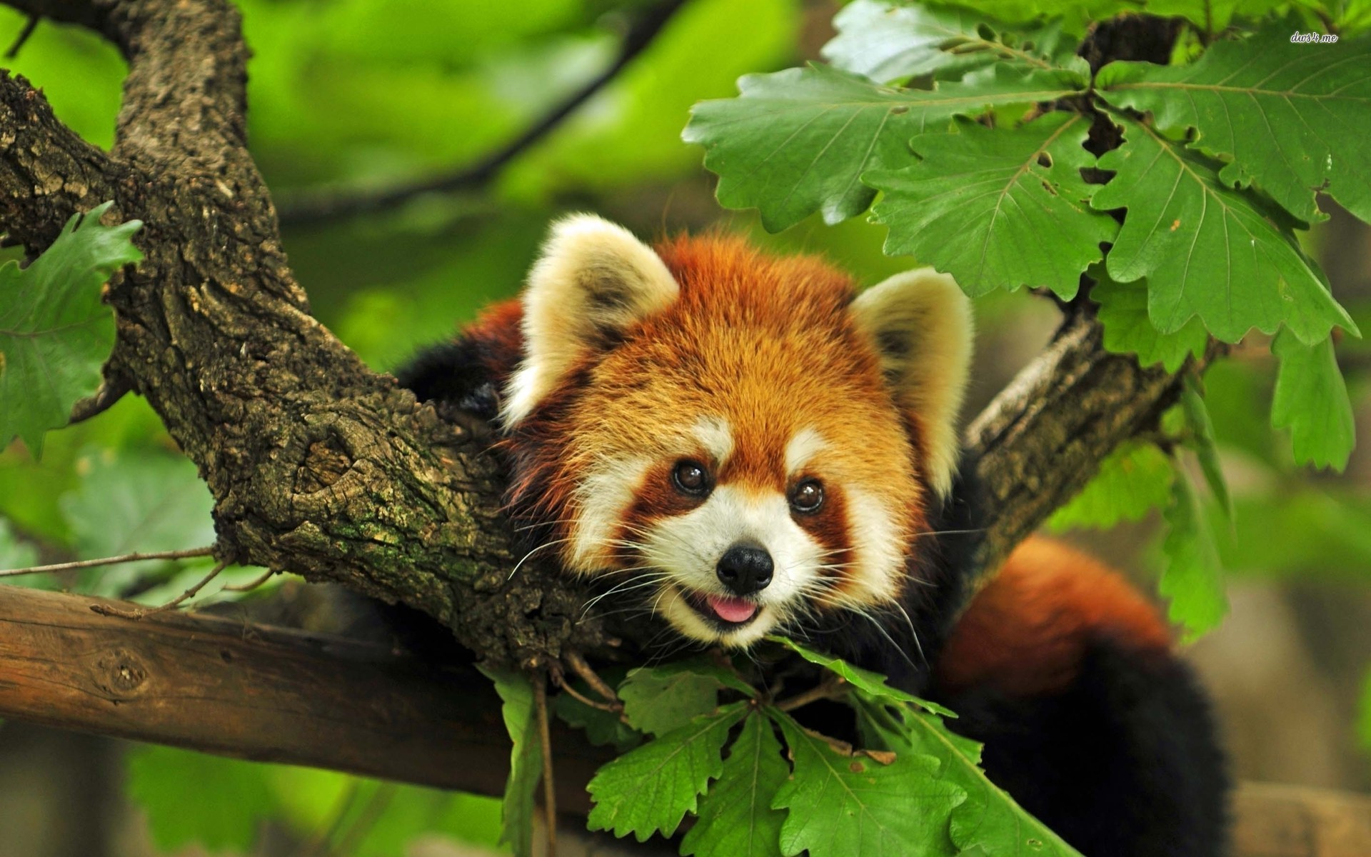 Large Red Panda Wallpapers