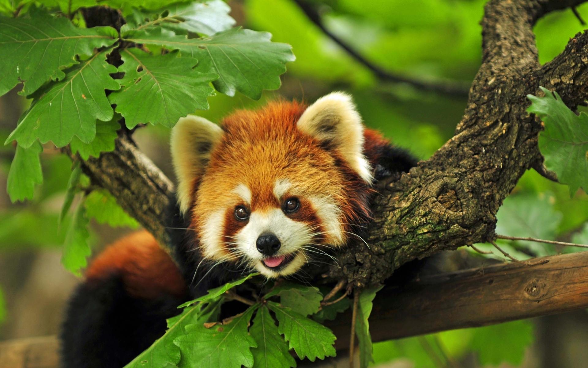 ... Sleeping Red Panda Wallpaper 9