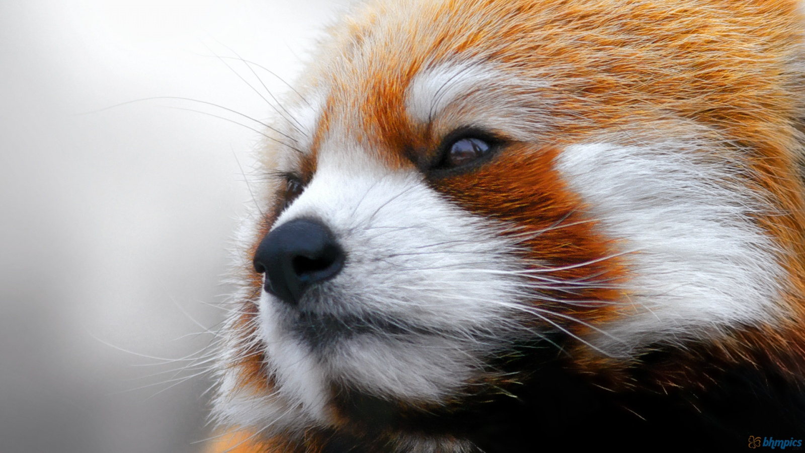 I'm not a red panda.