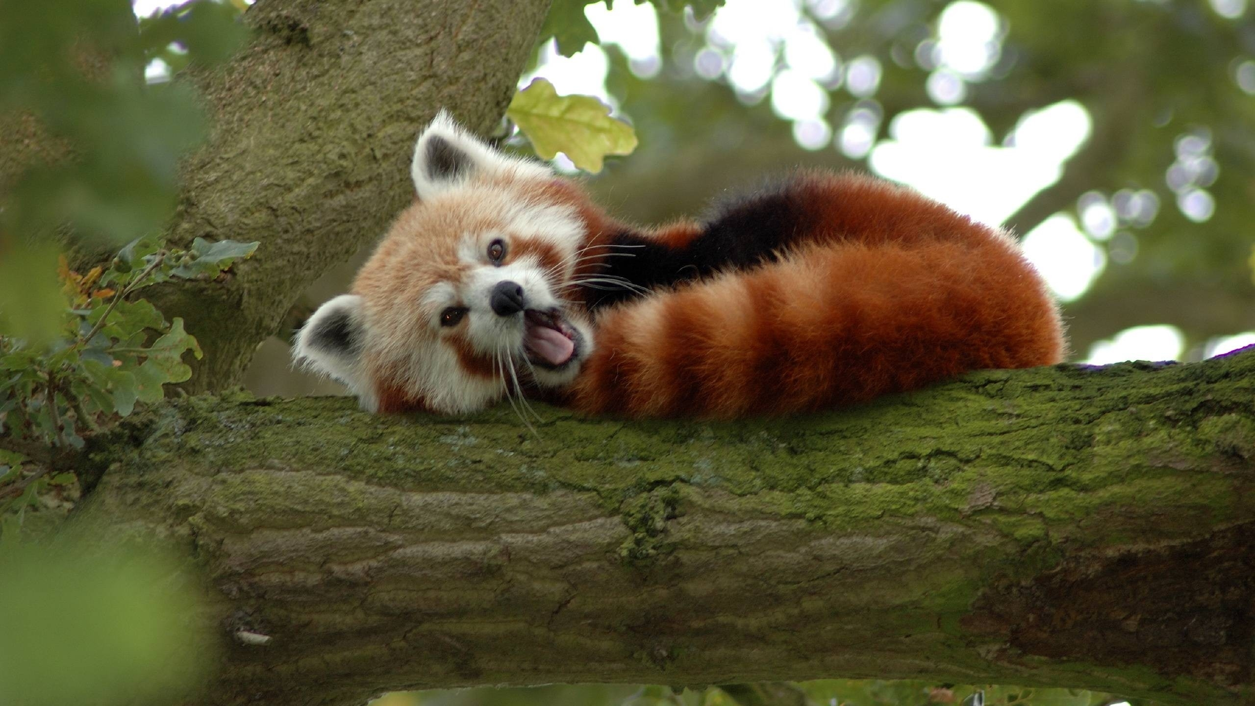 Cute Red Panda Sleeping