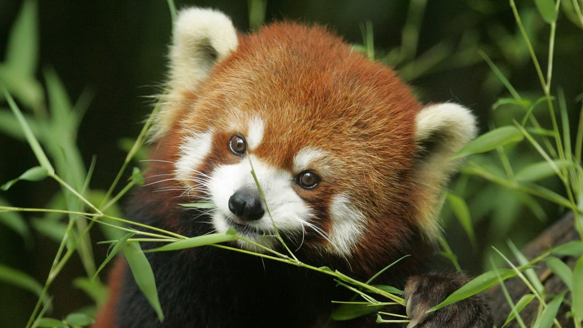 Red Panda wallp... Red Panda Wallpaper 1920x1080