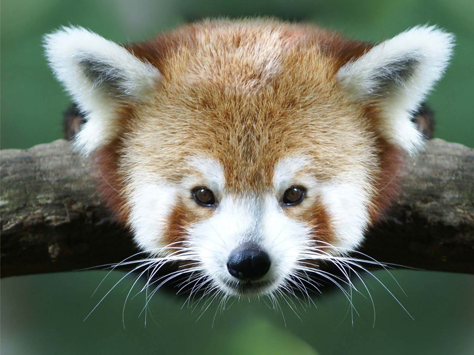 free Red Panda wallpaper wallpapers download