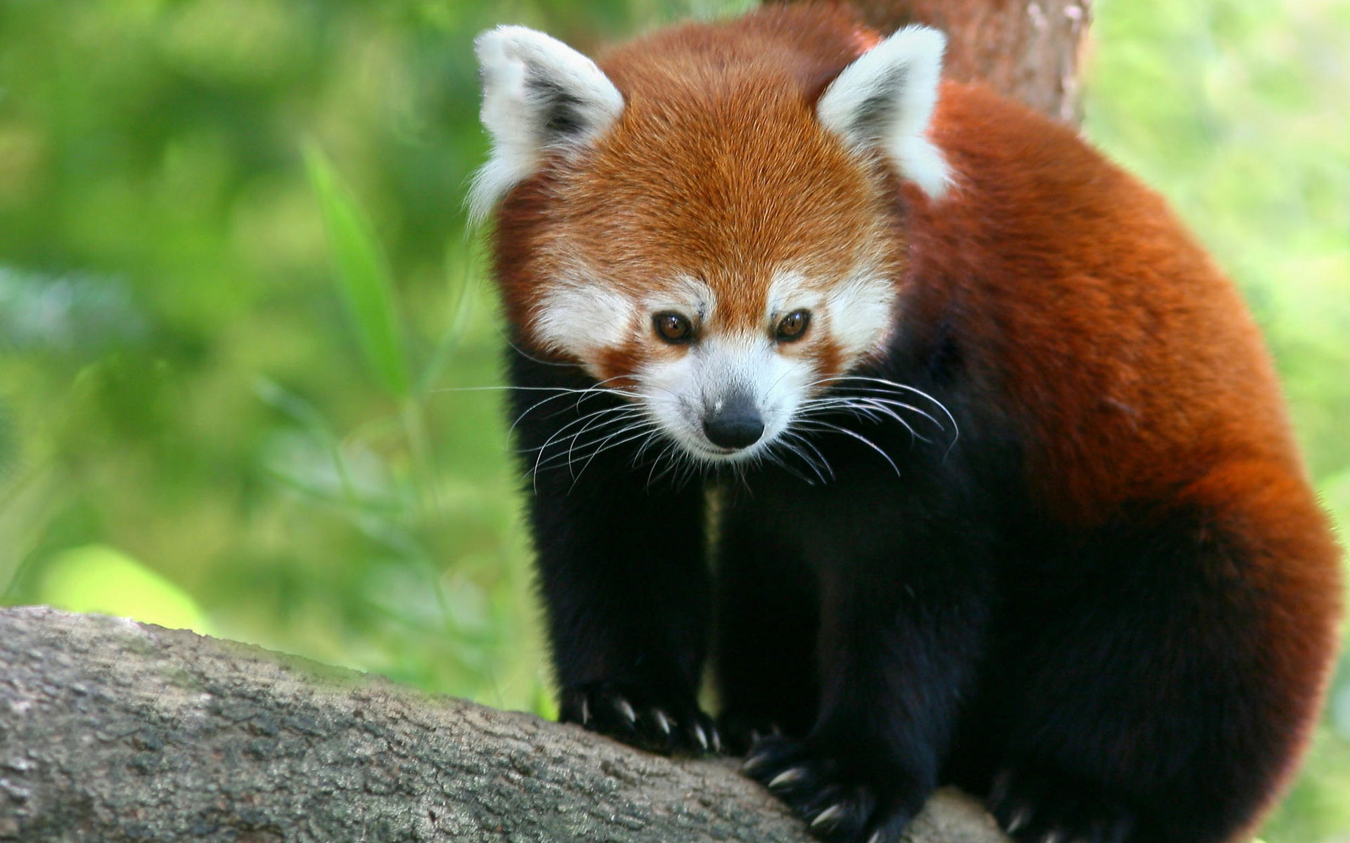 Free Red Panda Wallpaper