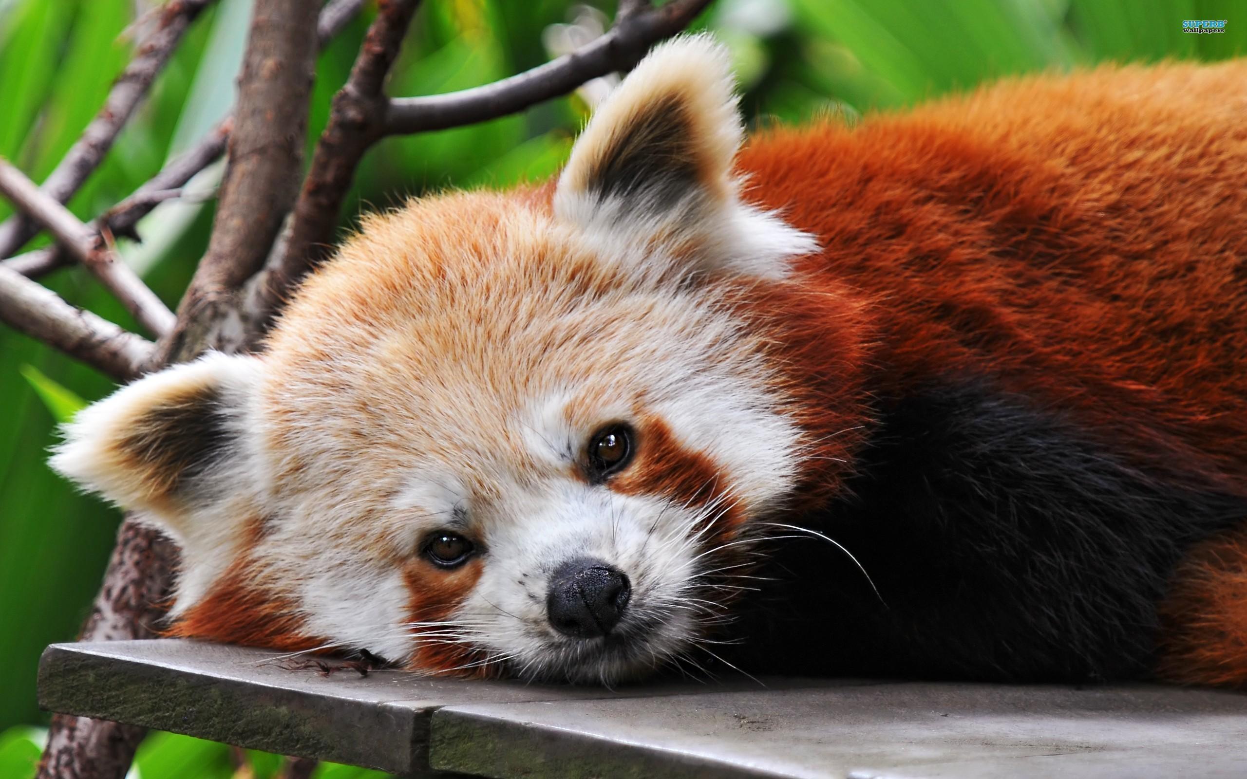 Red panda wallpaper 2560x1600 jpg