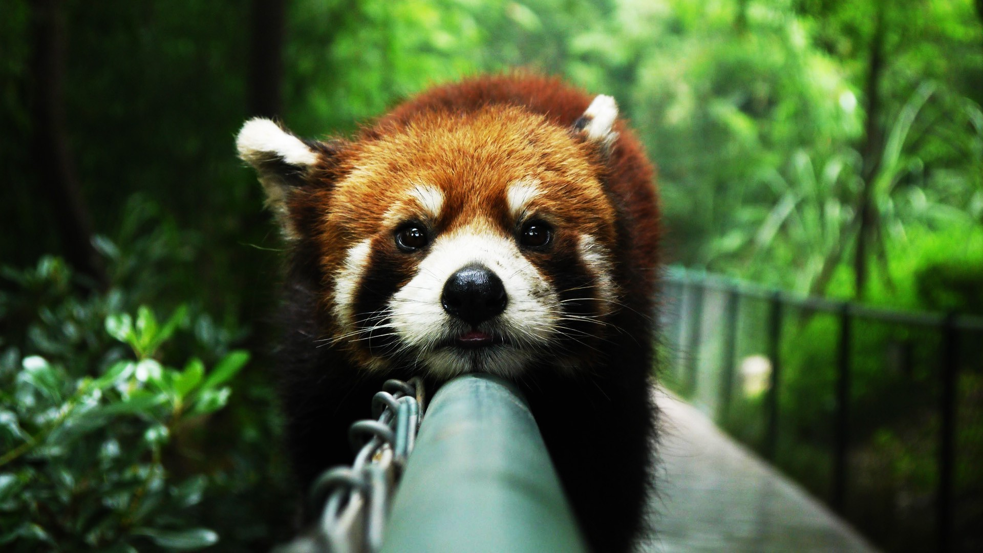 Desktop red panda bear images