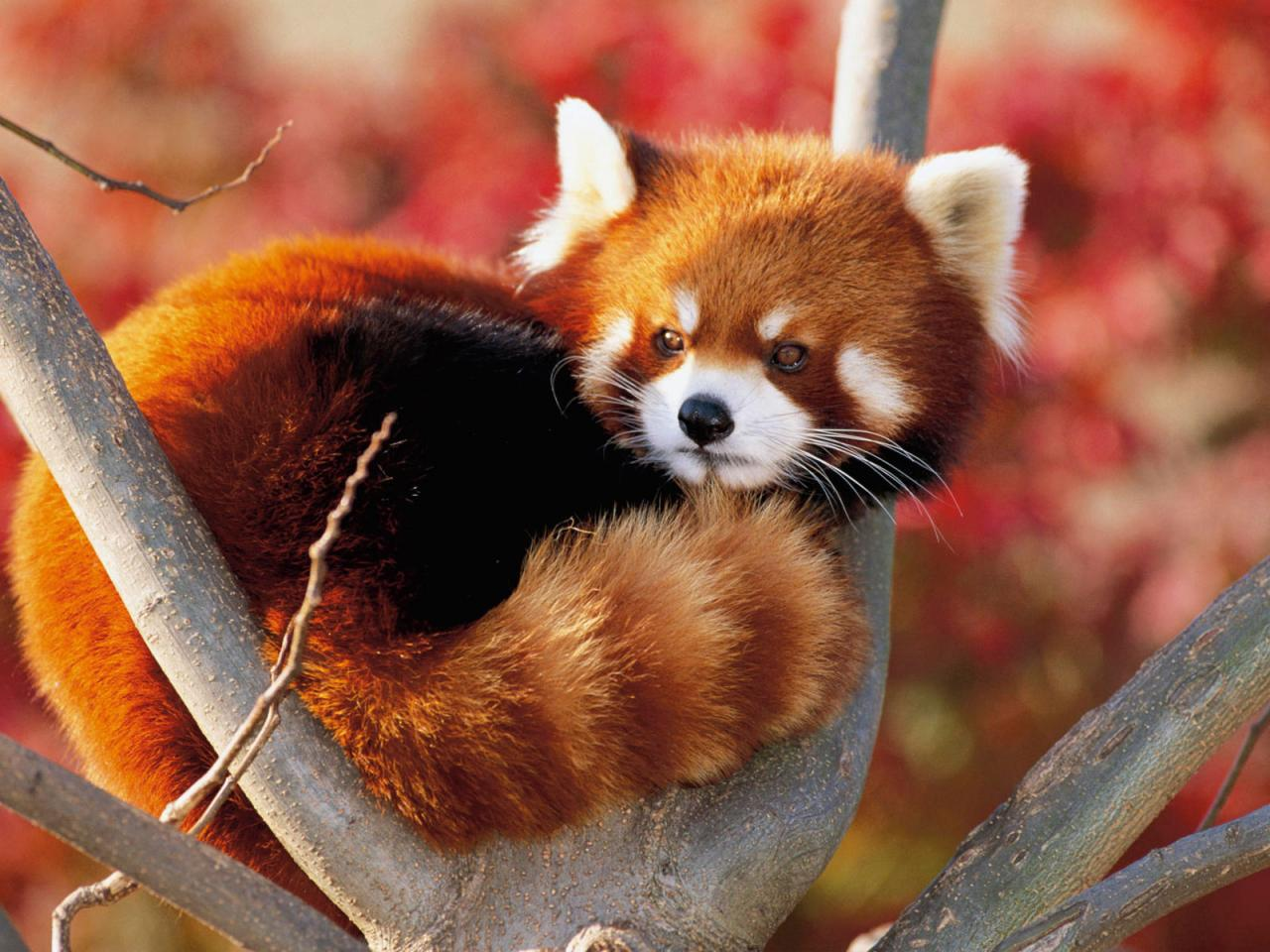 Animal - Red Panda Wallpaper