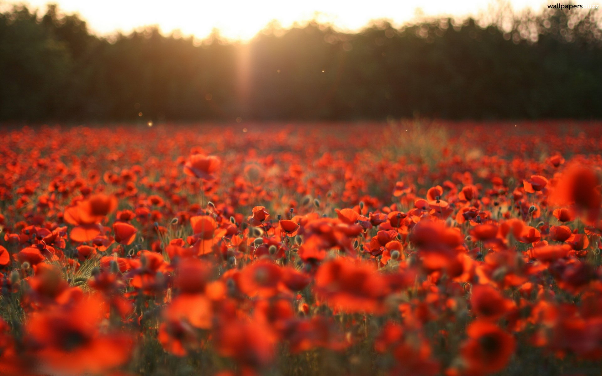 Red Poppy Wallpaper Next Red poppy seeds hd wallpapers
