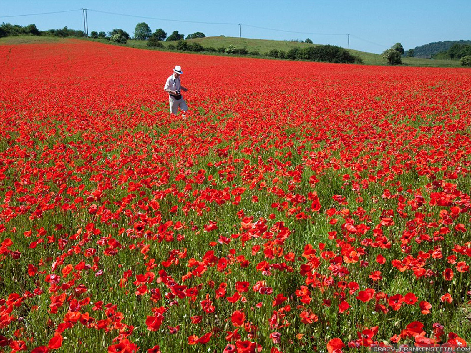 Wallpaper: Red poppies flower field wallpapers. Resolution: 1024x768   1280x1024   1600x1200