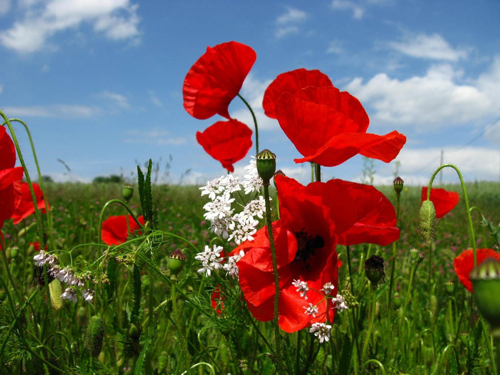 Red Poppy Flowers 14016 1024x768 px