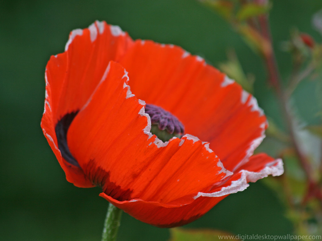 Free Red Poppy Flower Desktop Wallpapers 1024x768px