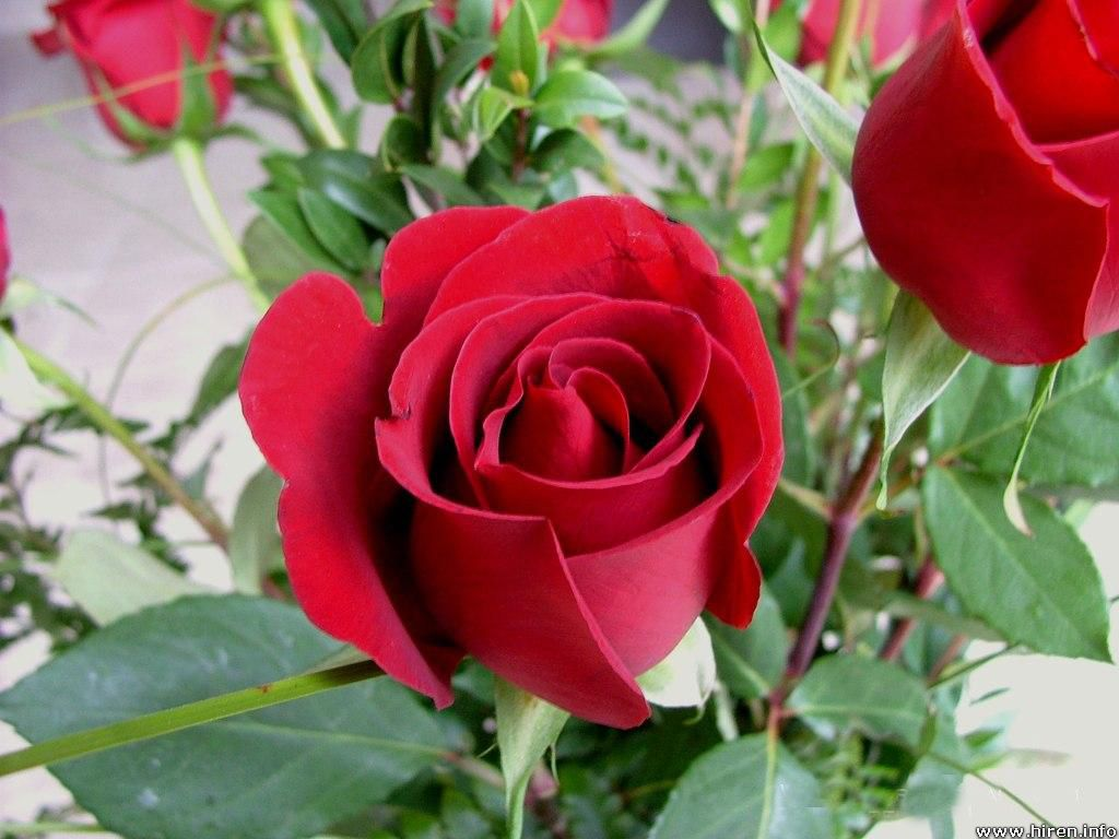 Red Rose Flowers Images 4K Image 7 HD Wallpapers