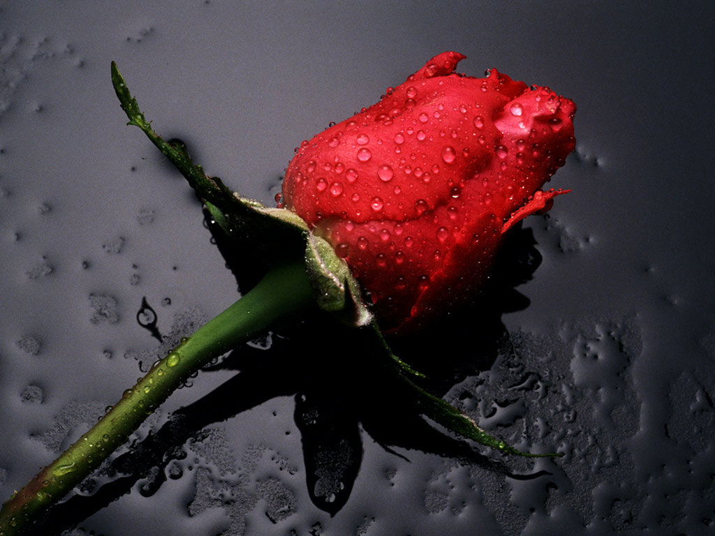 Red Rose Flower Pictures