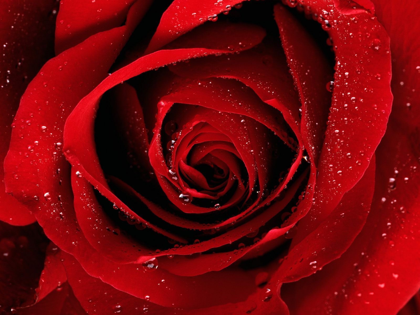 Hd wallpaper rose - Red Rose Hd