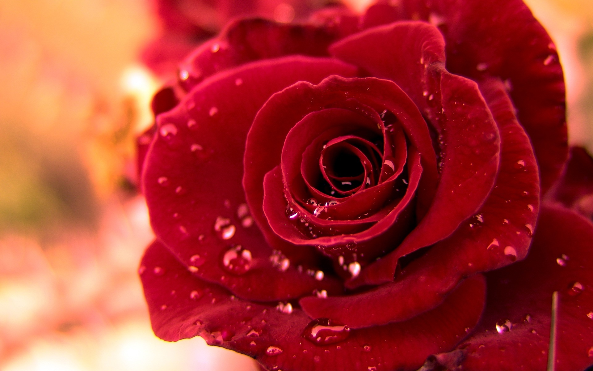 Water Drops On Red Rose