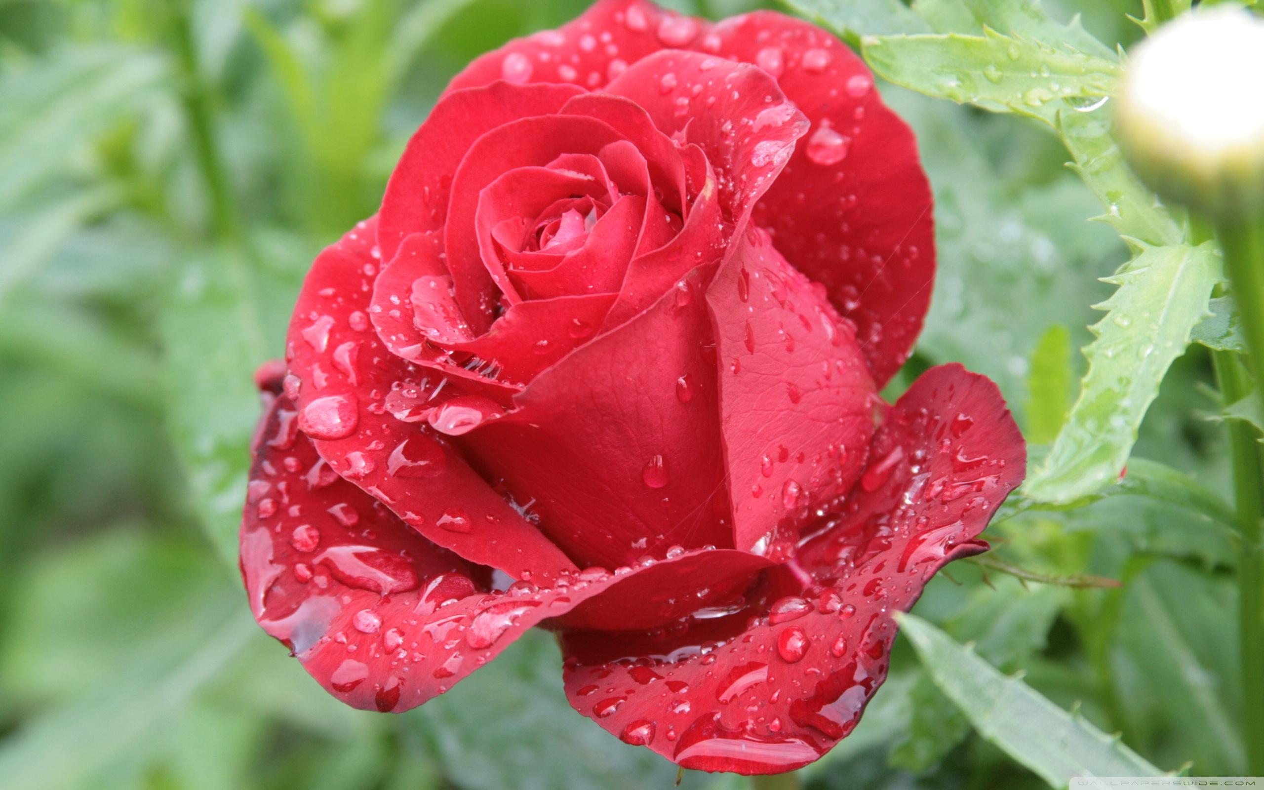 Red roses rain drops