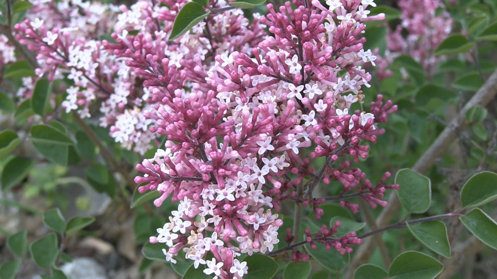 Mini Lilac Red Pixie (Syringa)