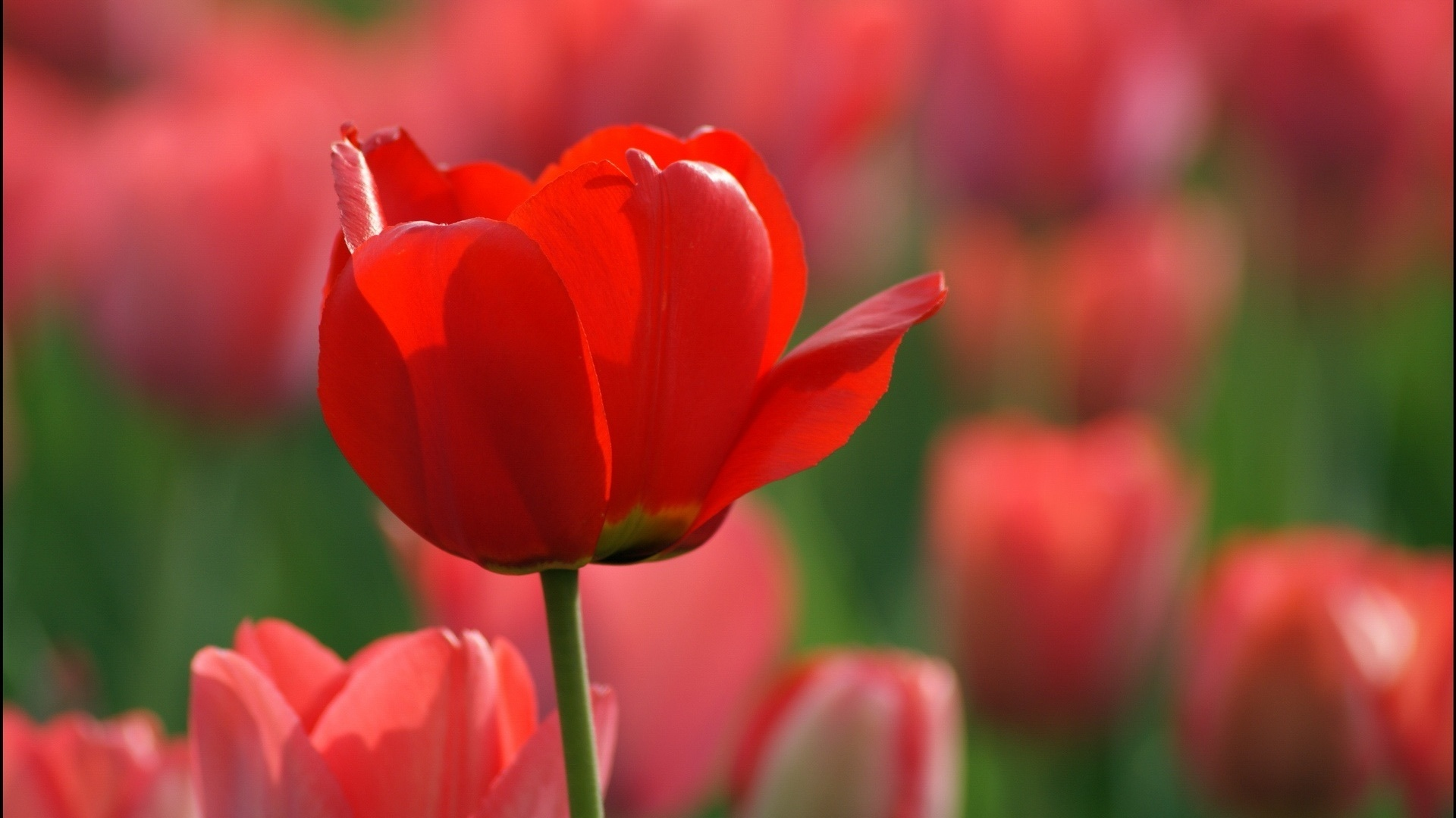 Red Tulip - Wallpaper