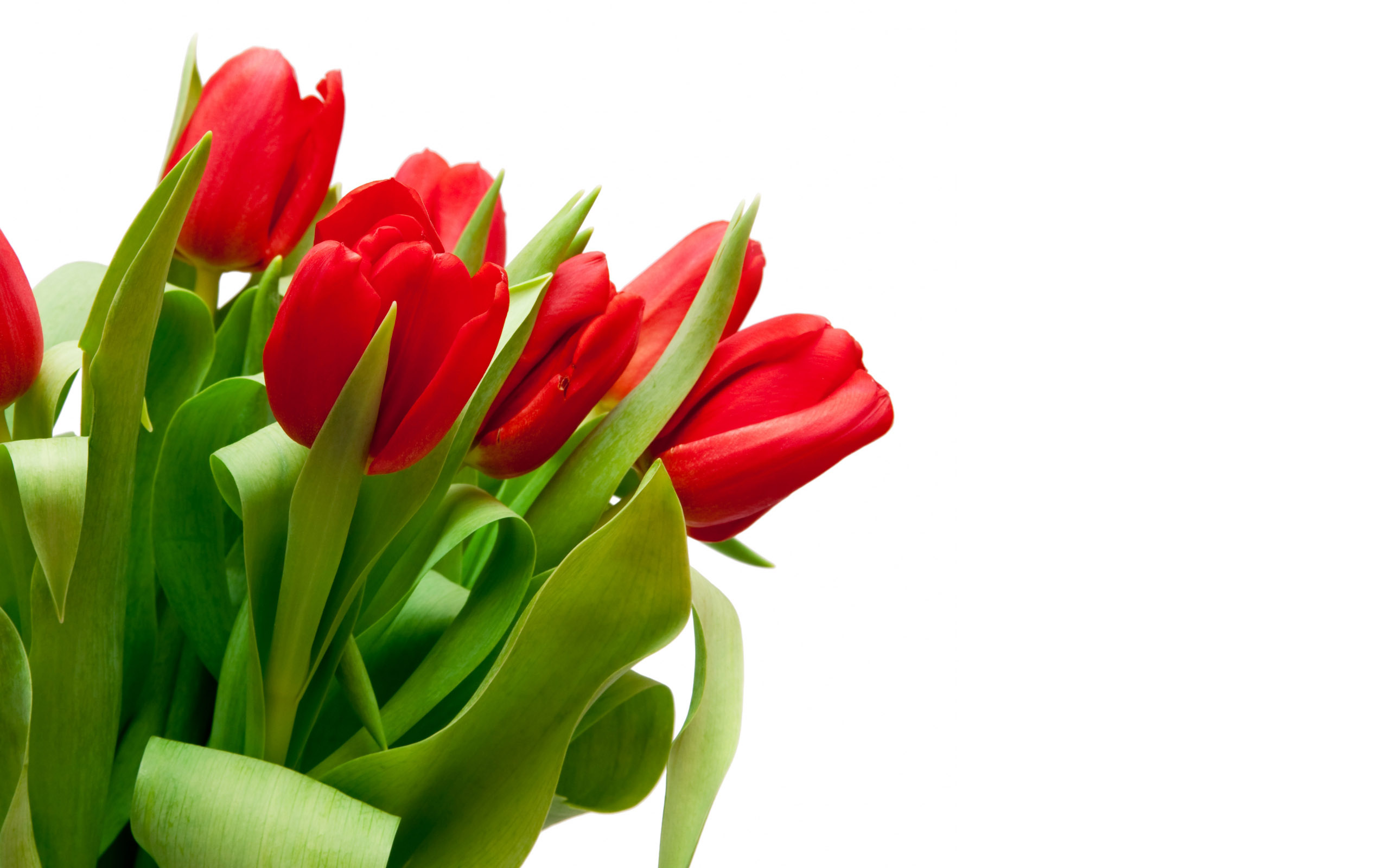 "Download the following Red Tulips Wallpaper 44629 by clicking the orange button positioned underneath the ""Download Wallpaper"" section."