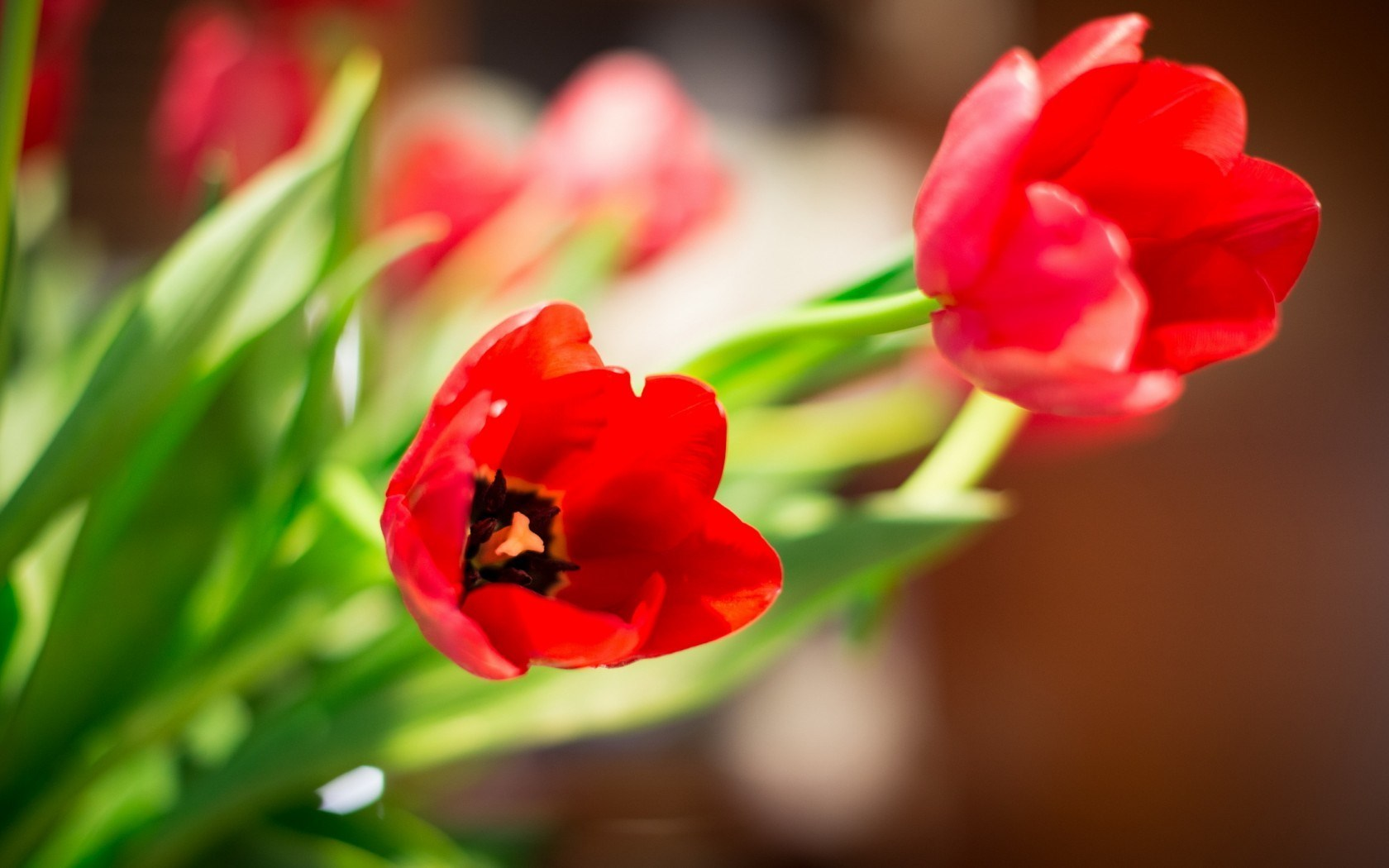 Red Tulips Bokeh